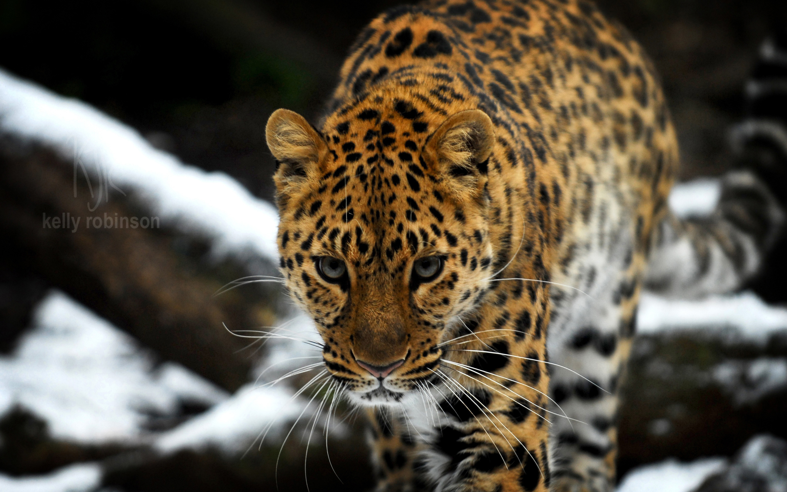 wallpaper amur leopard animal - photo #2