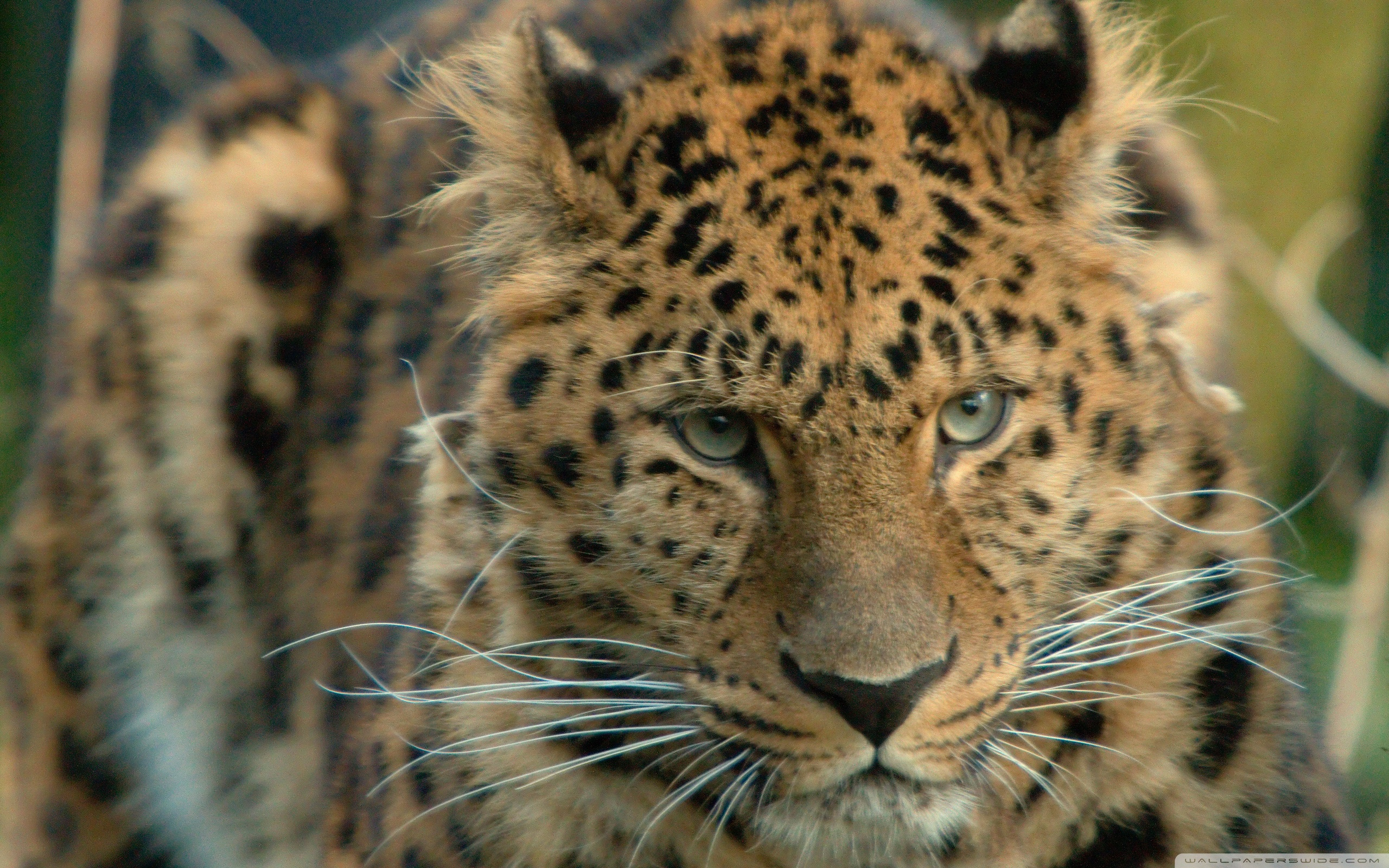 wallpaper amur leopard animal - photo #21