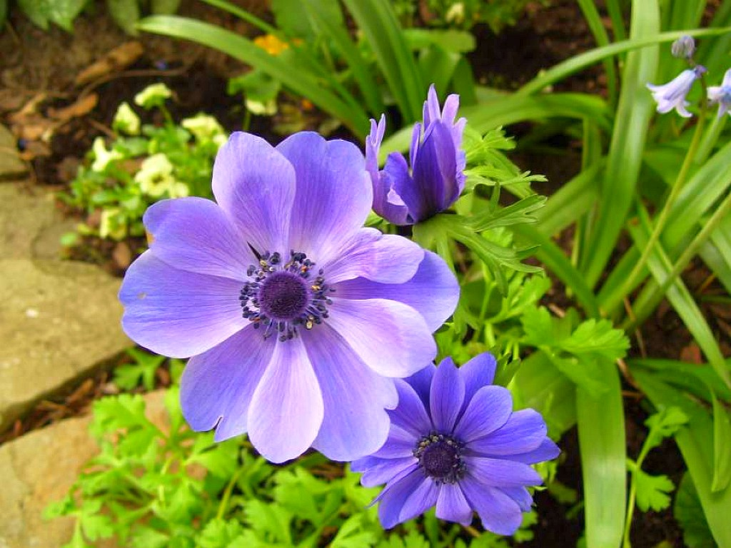 Anemone Flower Wallpaper