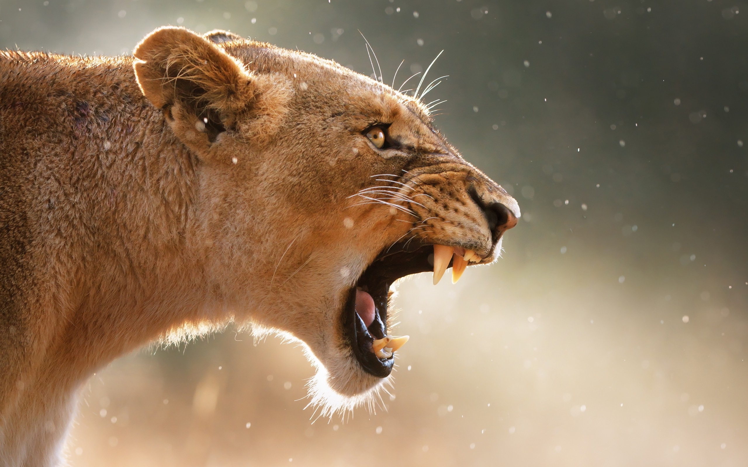 Angry female lion