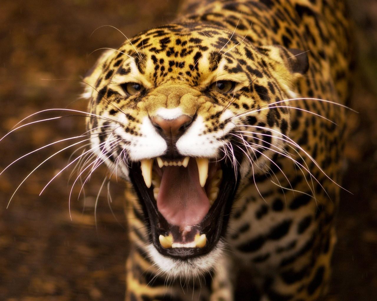 Angry Jaguar Wallpaper in 1280x1024 5:4