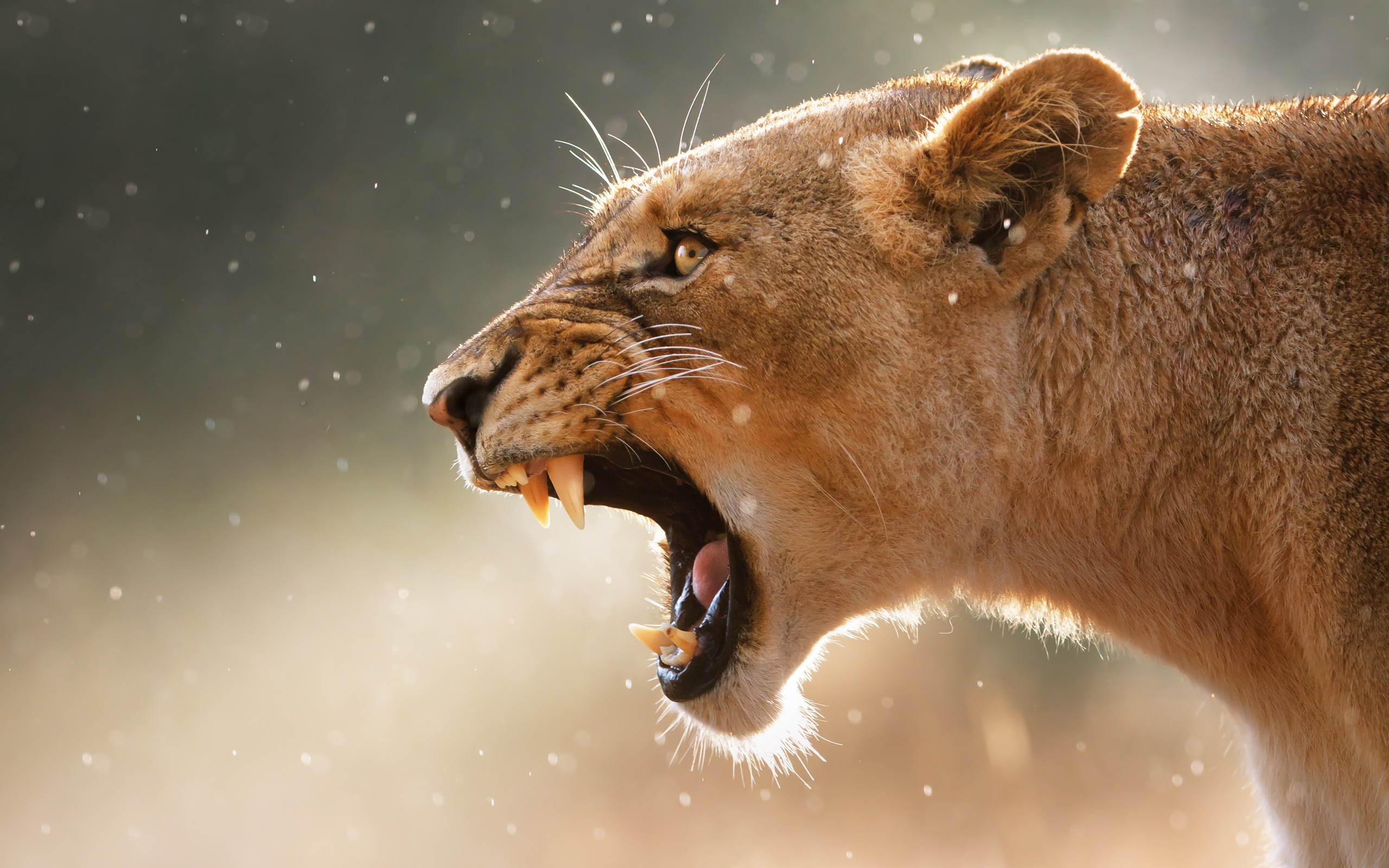 Angry Lioness Wallpaper 2560x1600