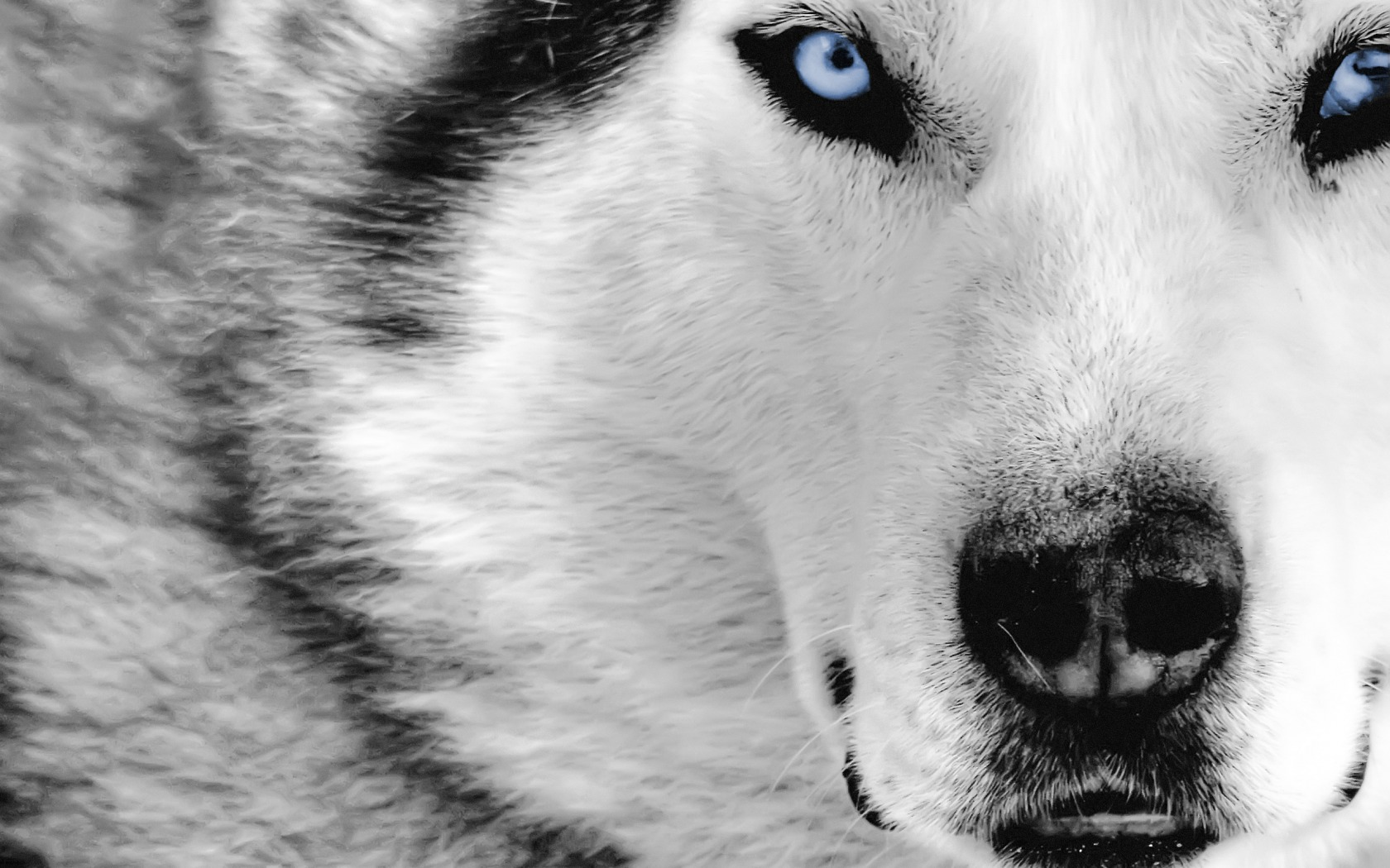 Close Up Animals Cute Wallpapers Wolf wallpaper