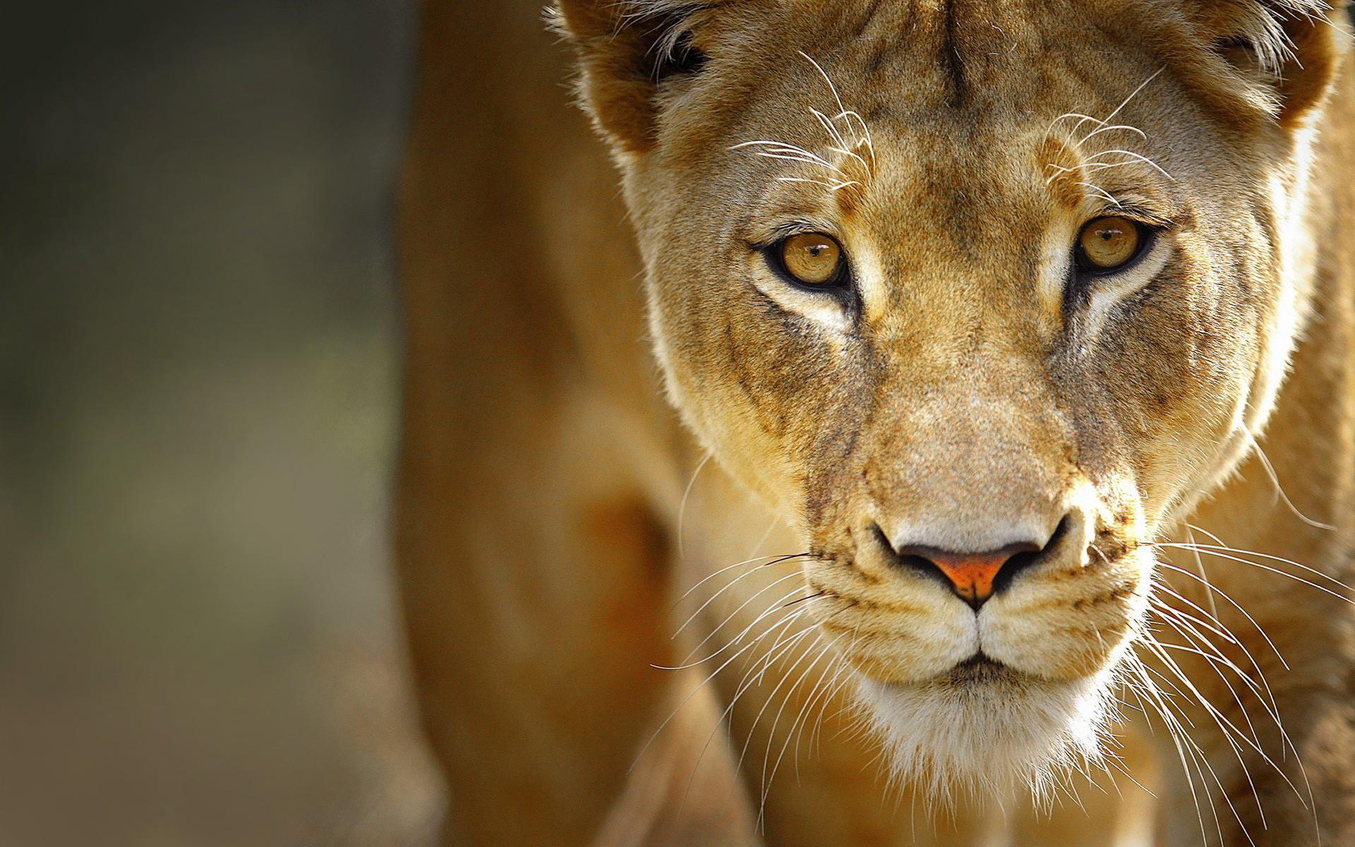 Close Up Nature Animals Lions Fresh New Hd Wallpaper 1920x1200px