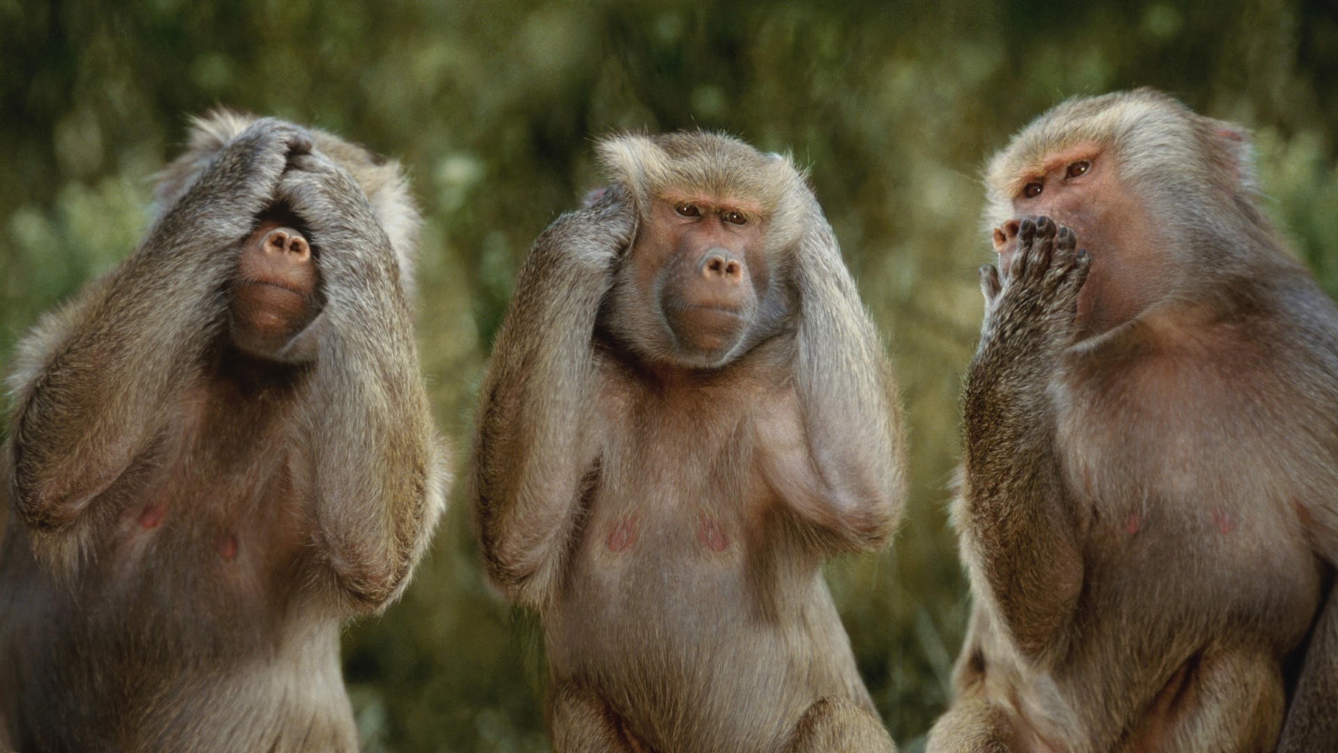 Animal Monkey Wallpaper