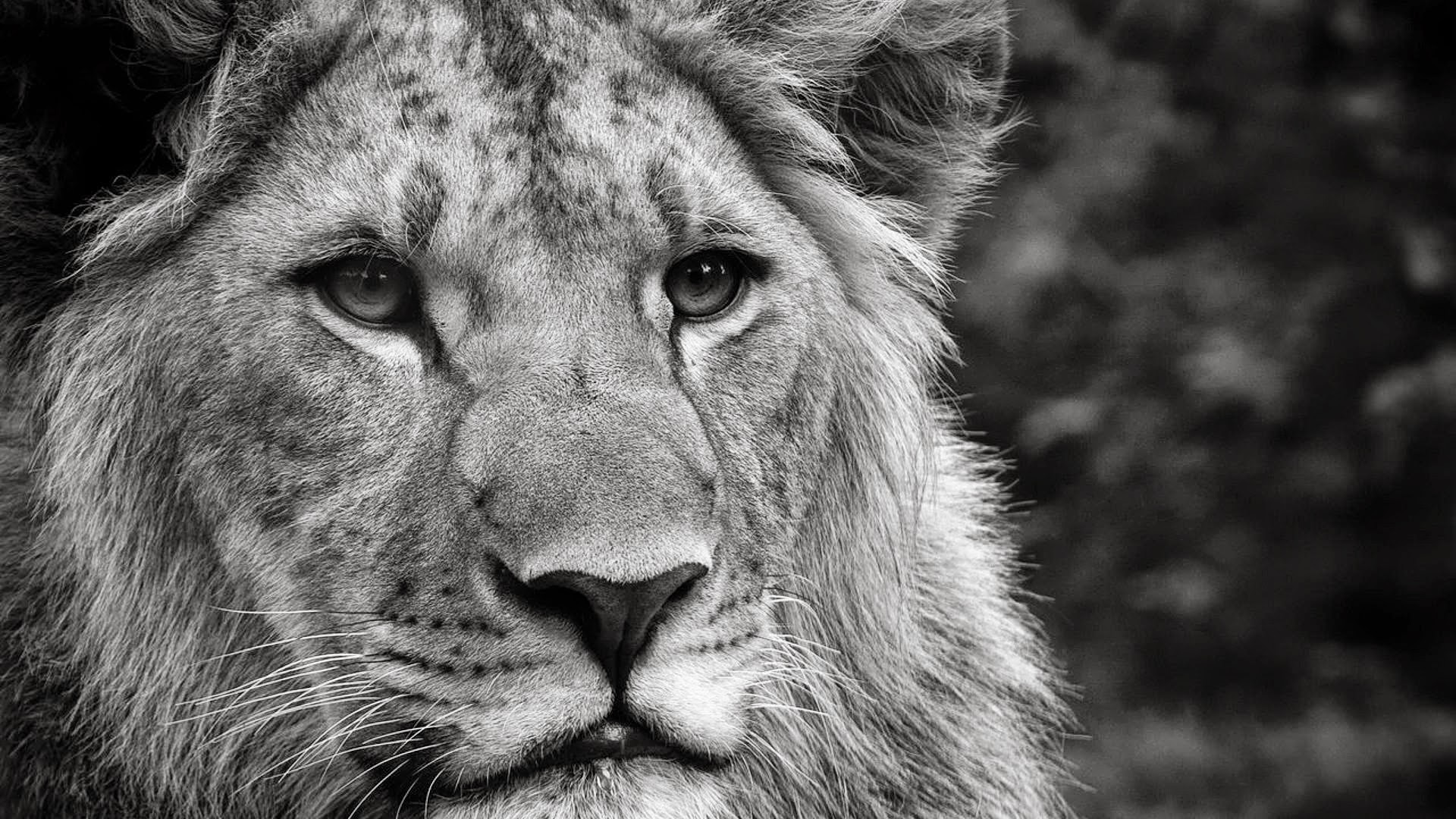 Terrific Lion Animal Wallpapers Download Animal Wallpaper Hd Download Full Size Wallpapers Free For Walls Mobile Home Murals Desktop wallpaper