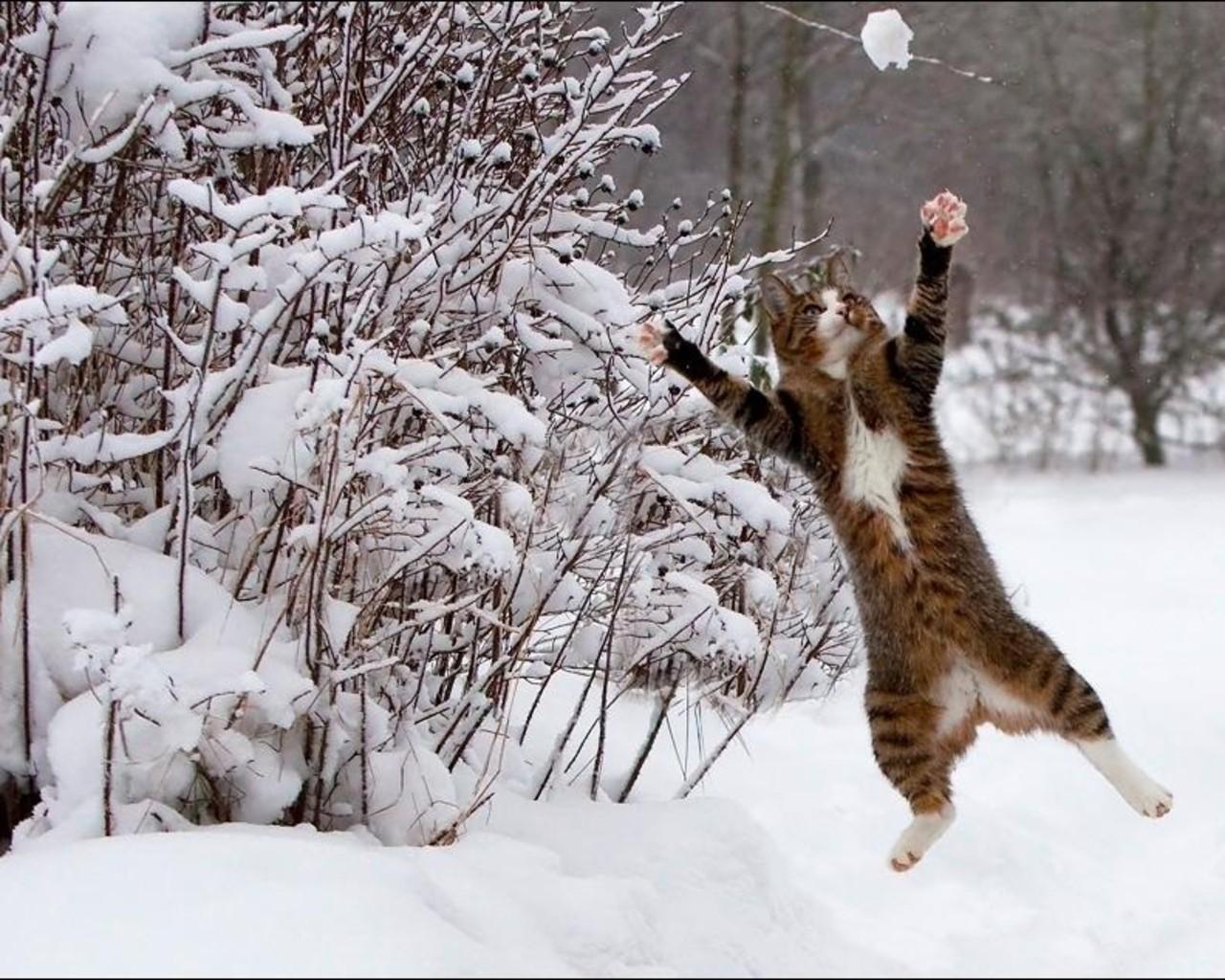 Snow cats animals brown 1280x1024