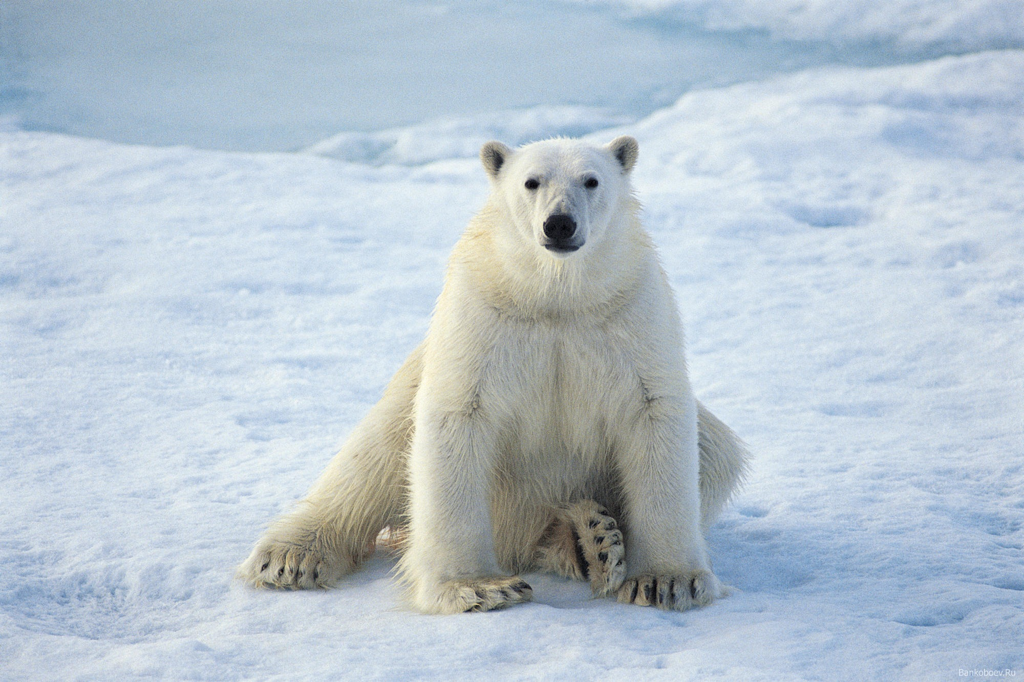 Animals polar bears snow