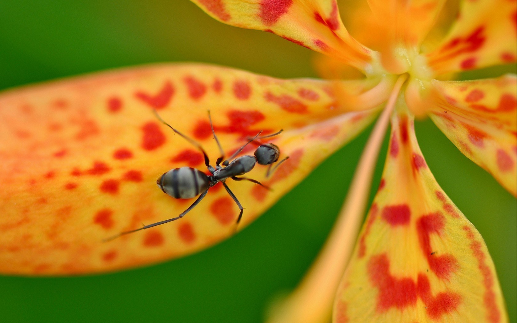 Ant Flower Close-Up