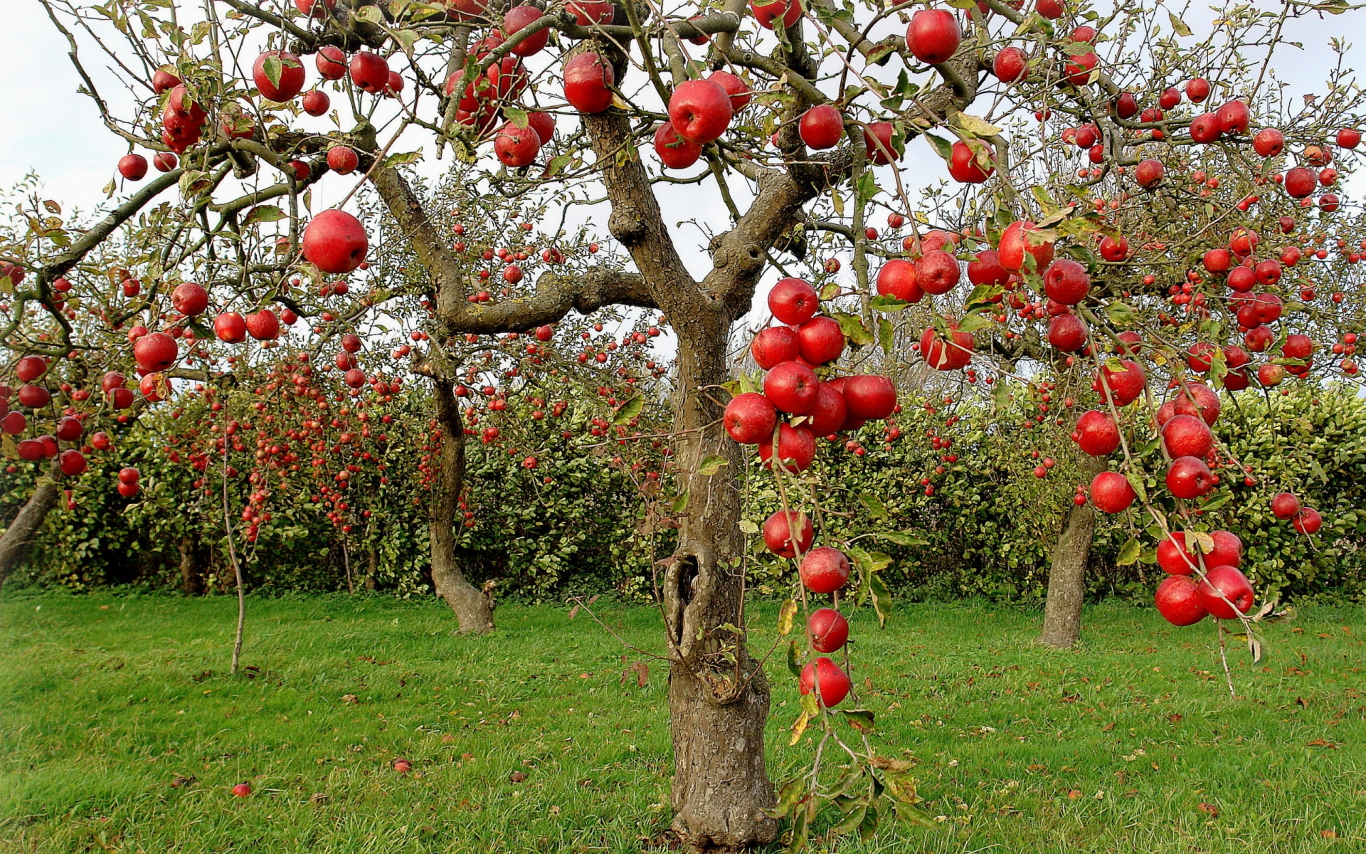 ... Apple Tree Wallpaper ...