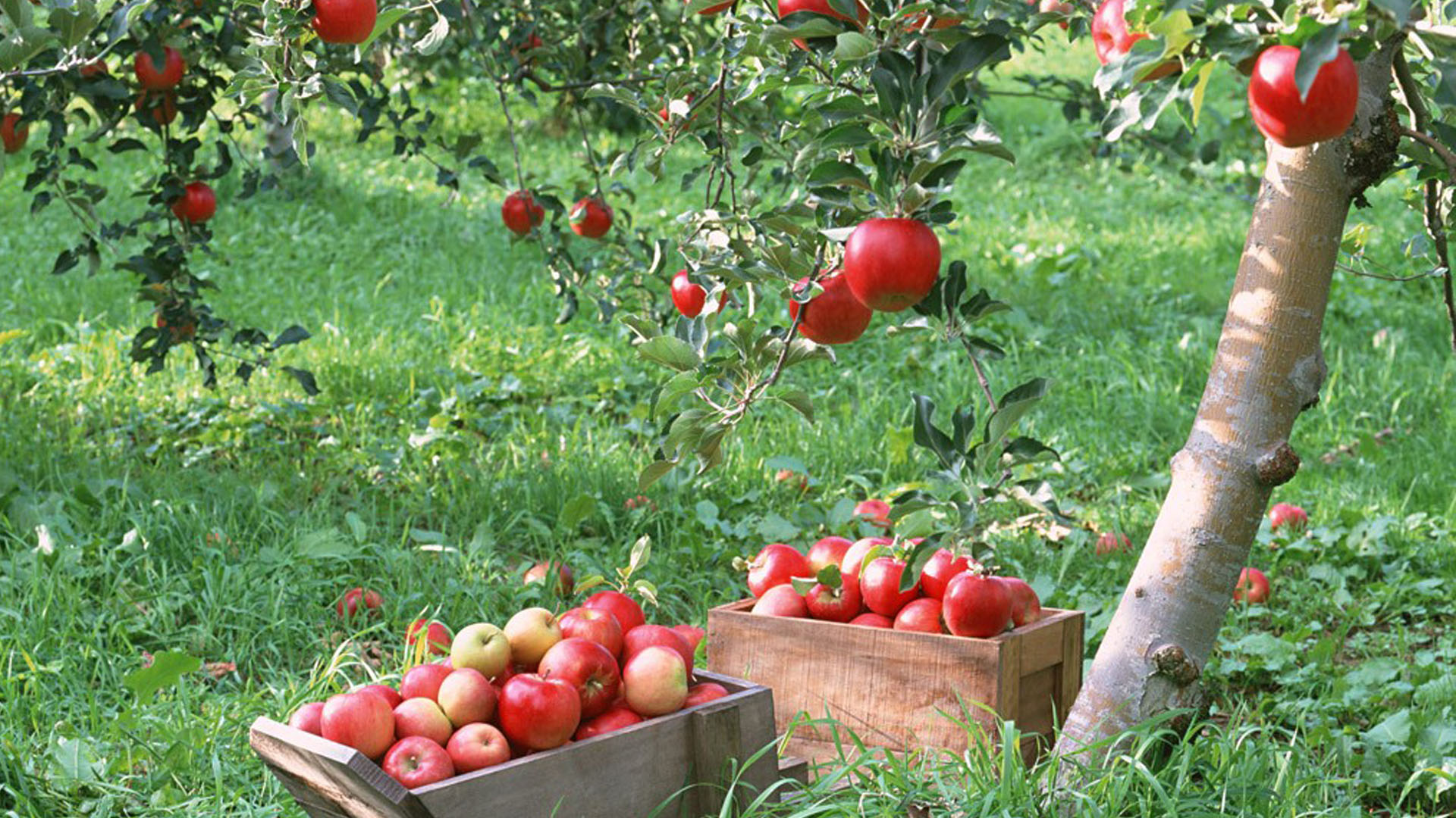 Apple tree high quality new wide hd wallpaper