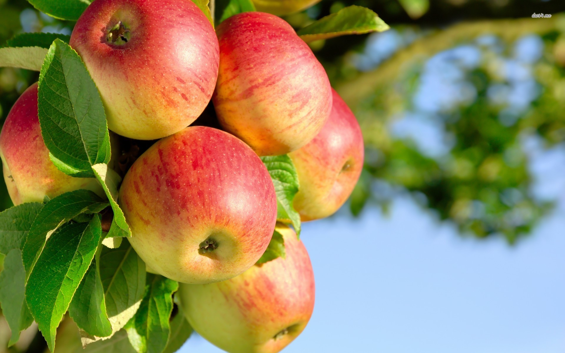 ... Apple Tree HD Wallpapers ...