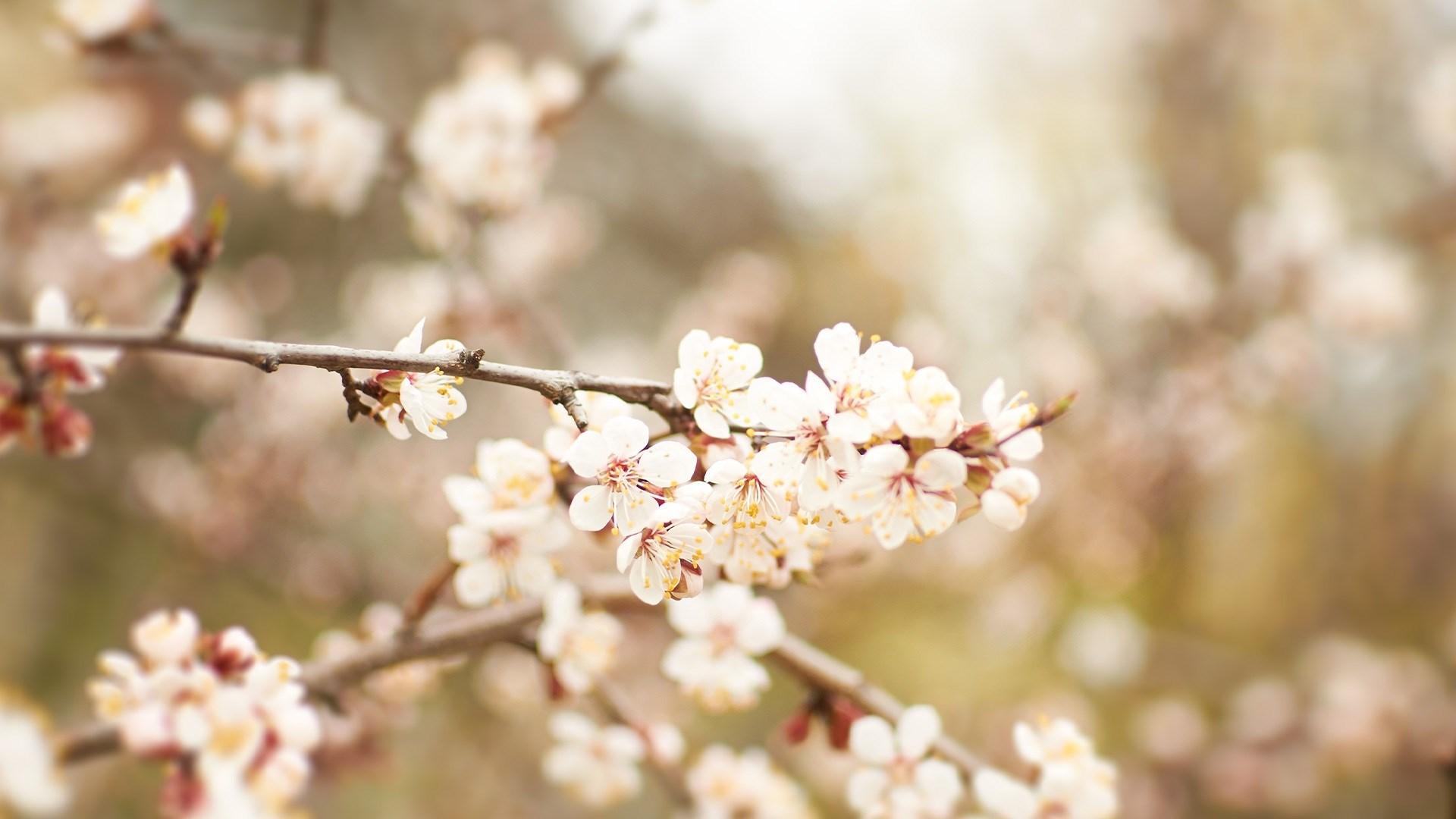 Apricot Blossom Nature
