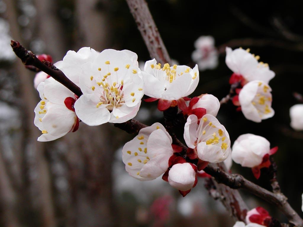 Apricot Flower 14185