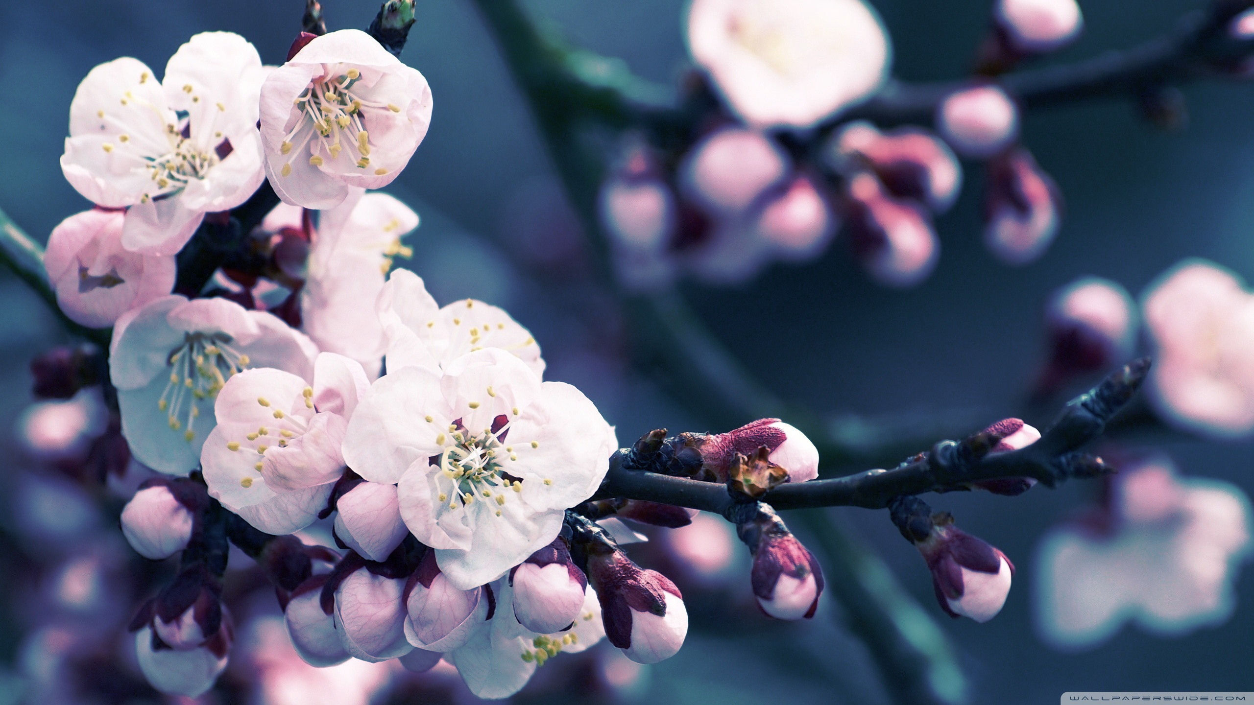 Apricot Flower Wallpaper