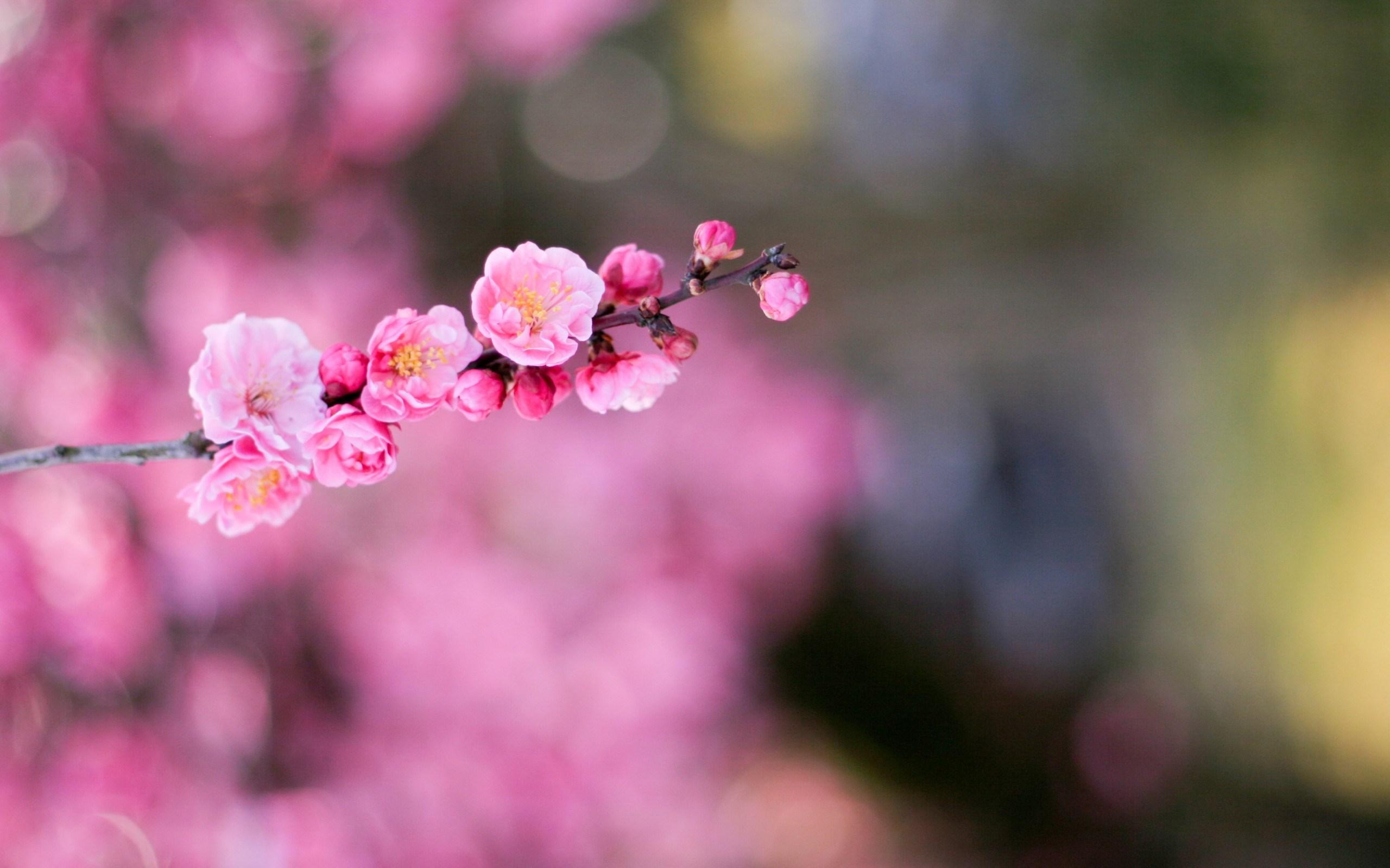 Apricot Flowers Macro Bokeh