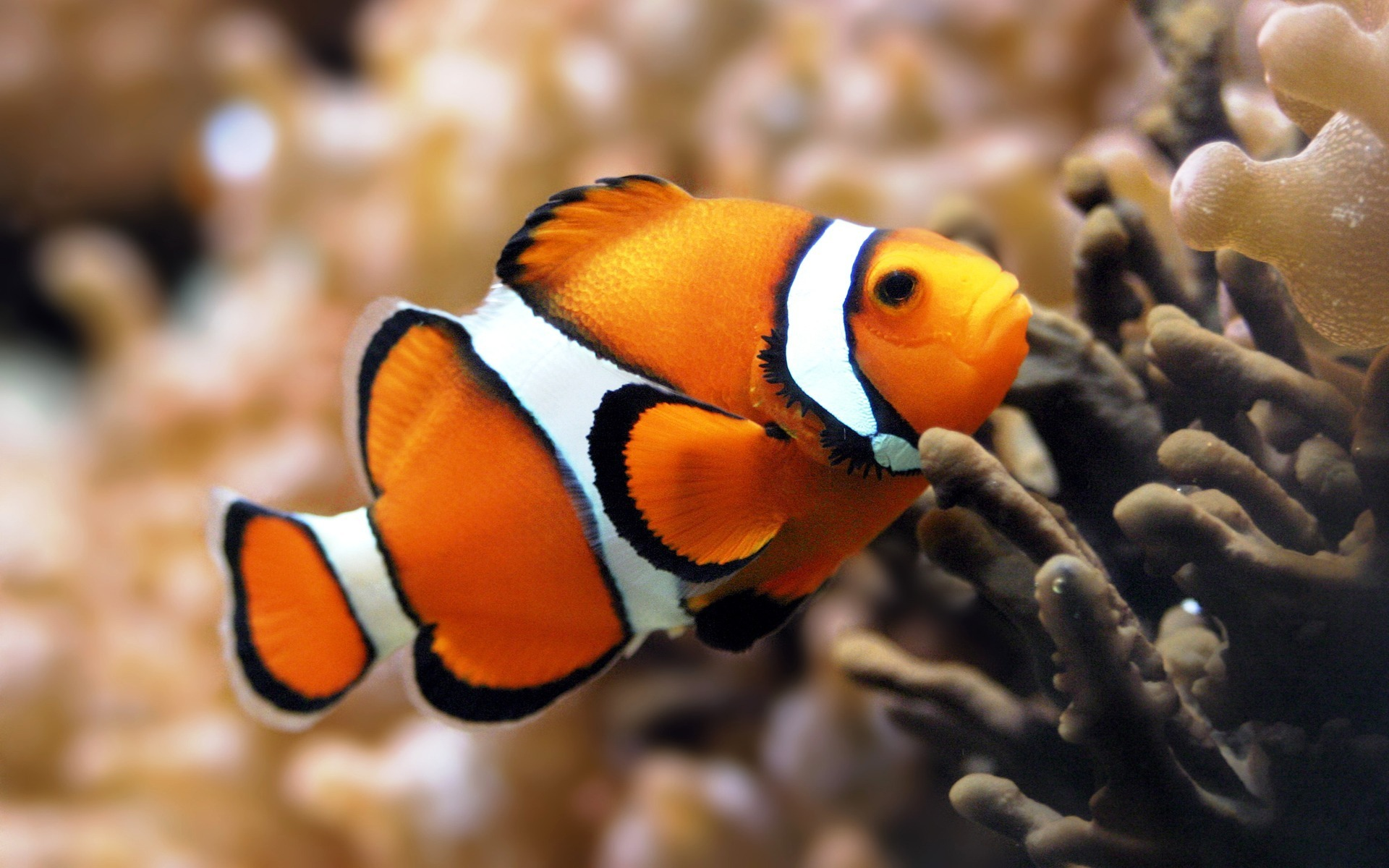 These free downloadable wallpapers are HD and available varying range of sizes and resolutions. Download Aquarium Fish HD Wallpapers absolutely free for ...