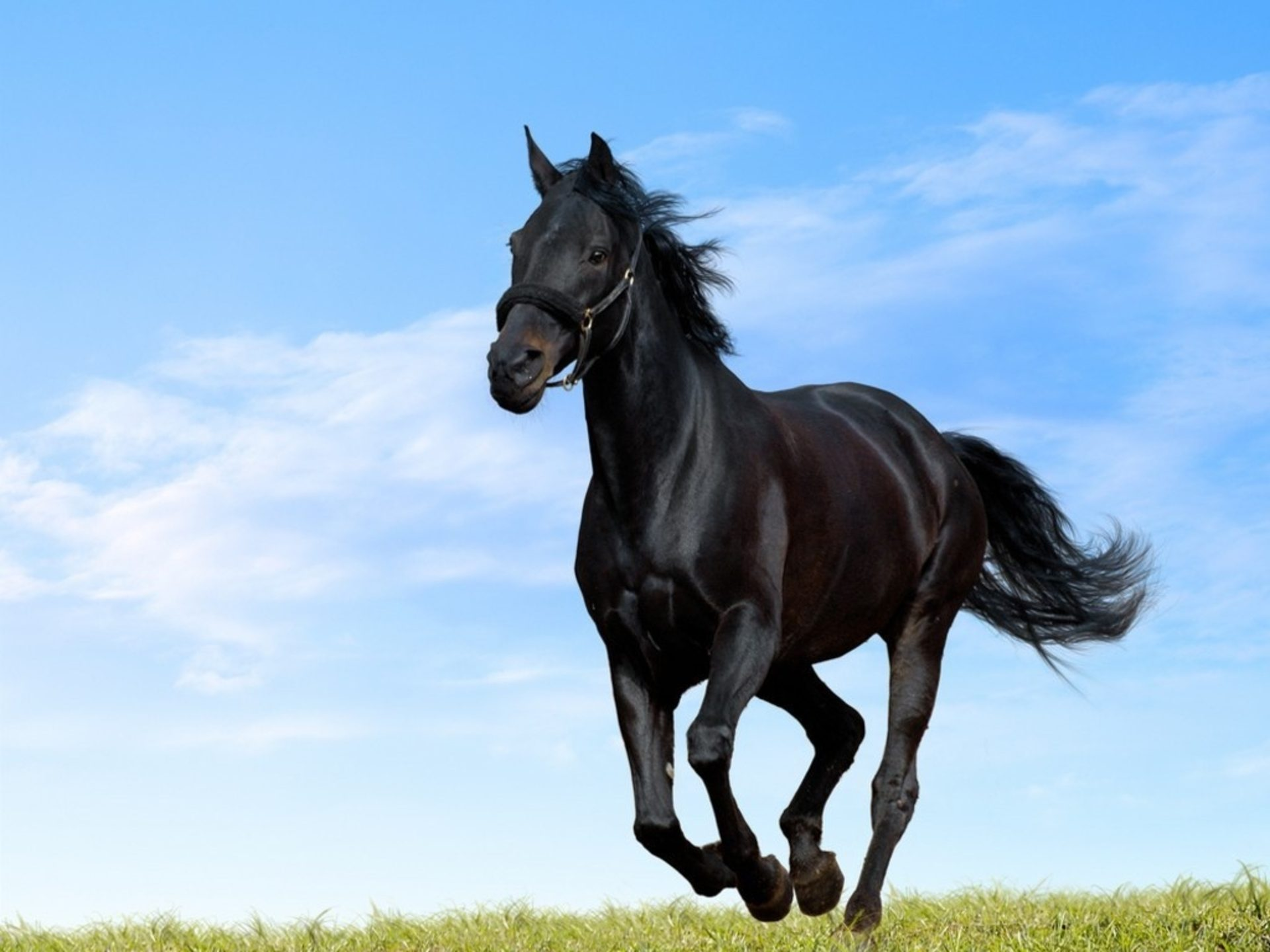 Beautiful Arabian Horse HD