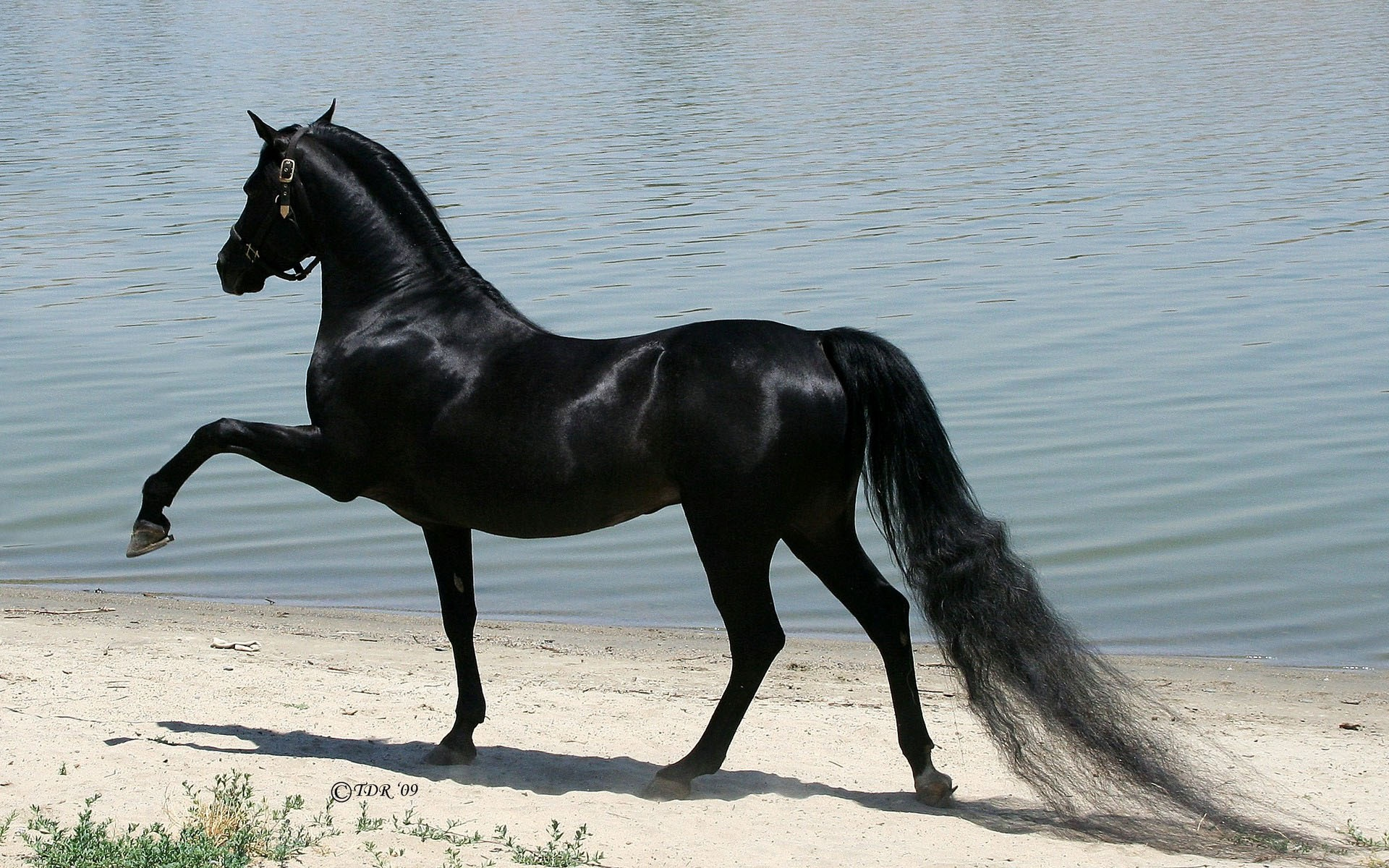 black Arabian horse hd wallpapers best background images