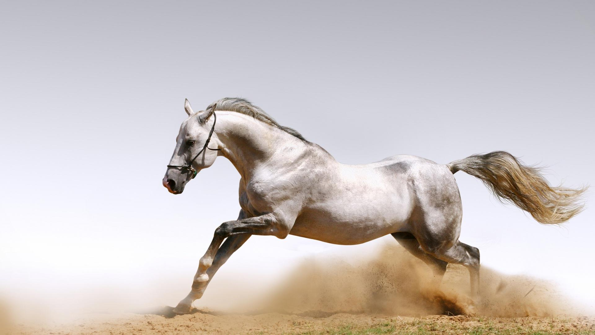 Arabian Horse from England HQ Wallpaper