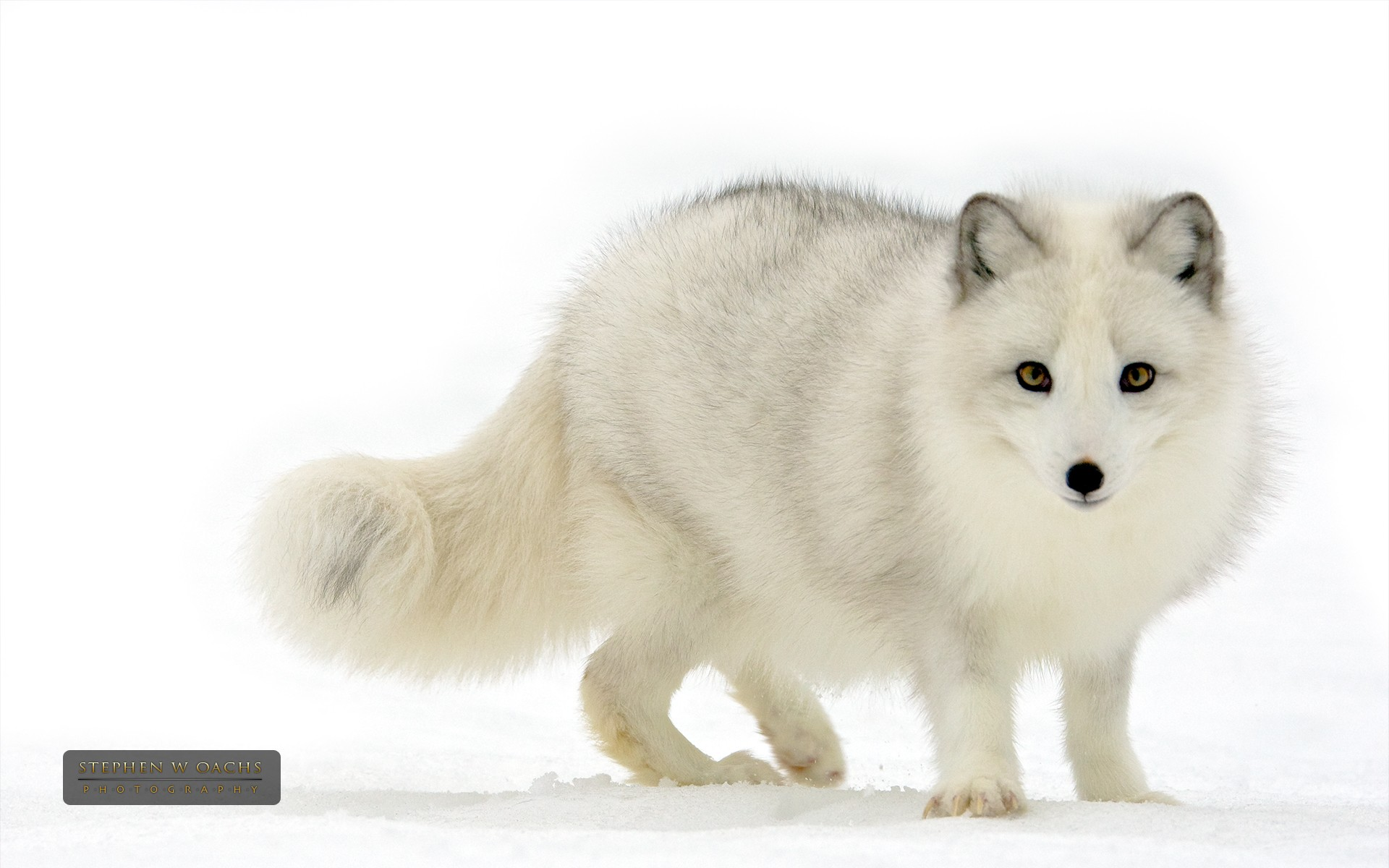 HD Wallpaper | Background ID:327882. 1920x1200 Animal Arctic Fox