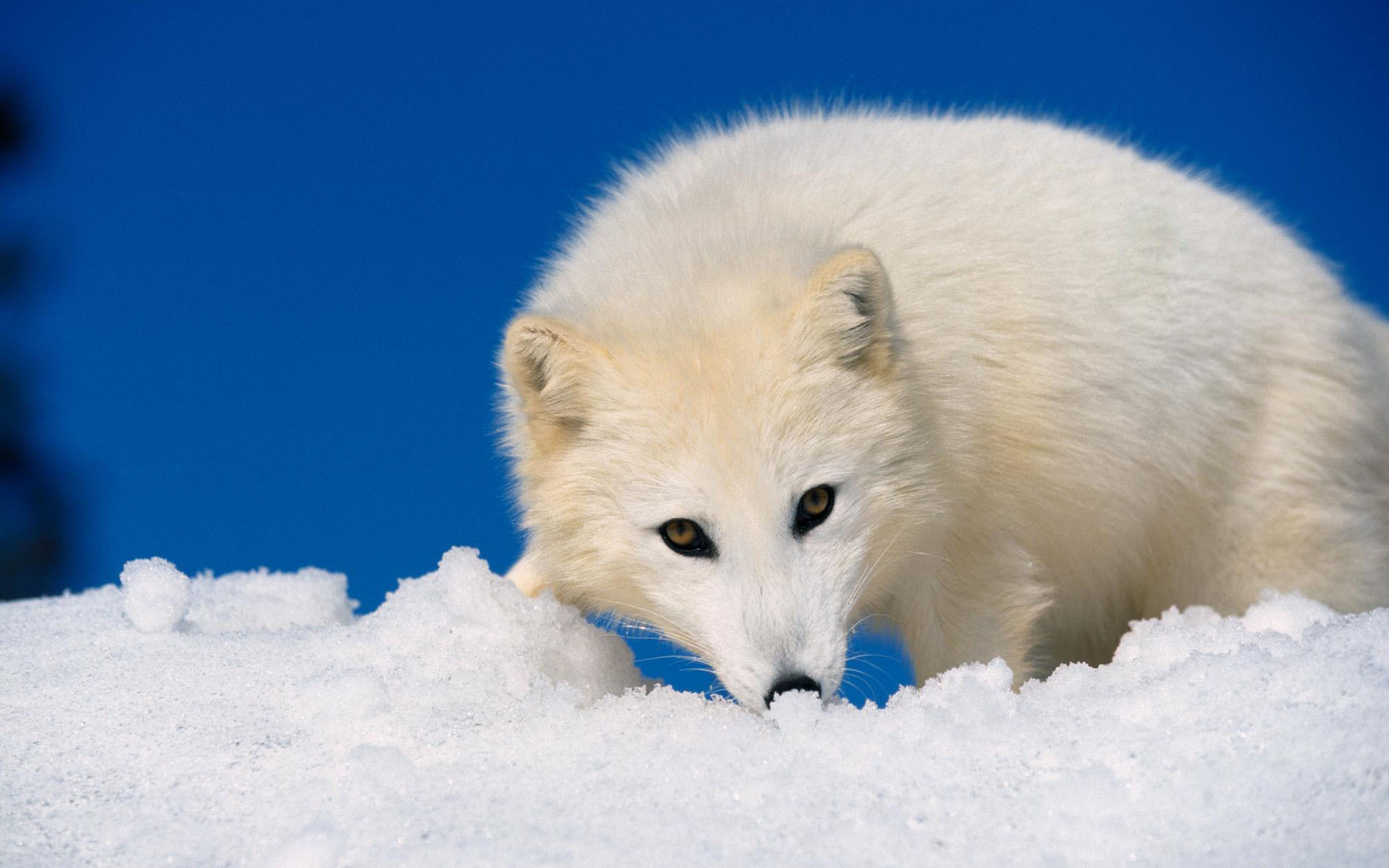 Fox Arctic Fox Wallpaper