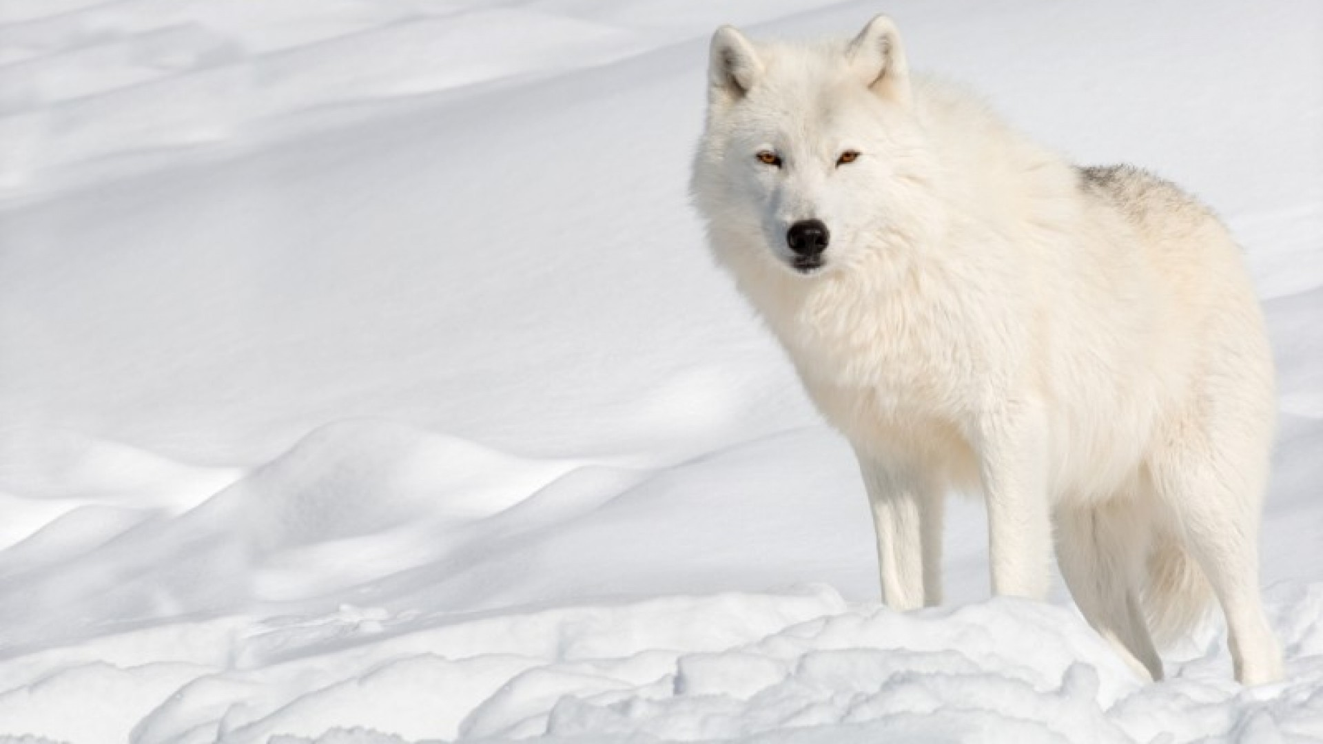 Arctic Wolf Wallpapers1
