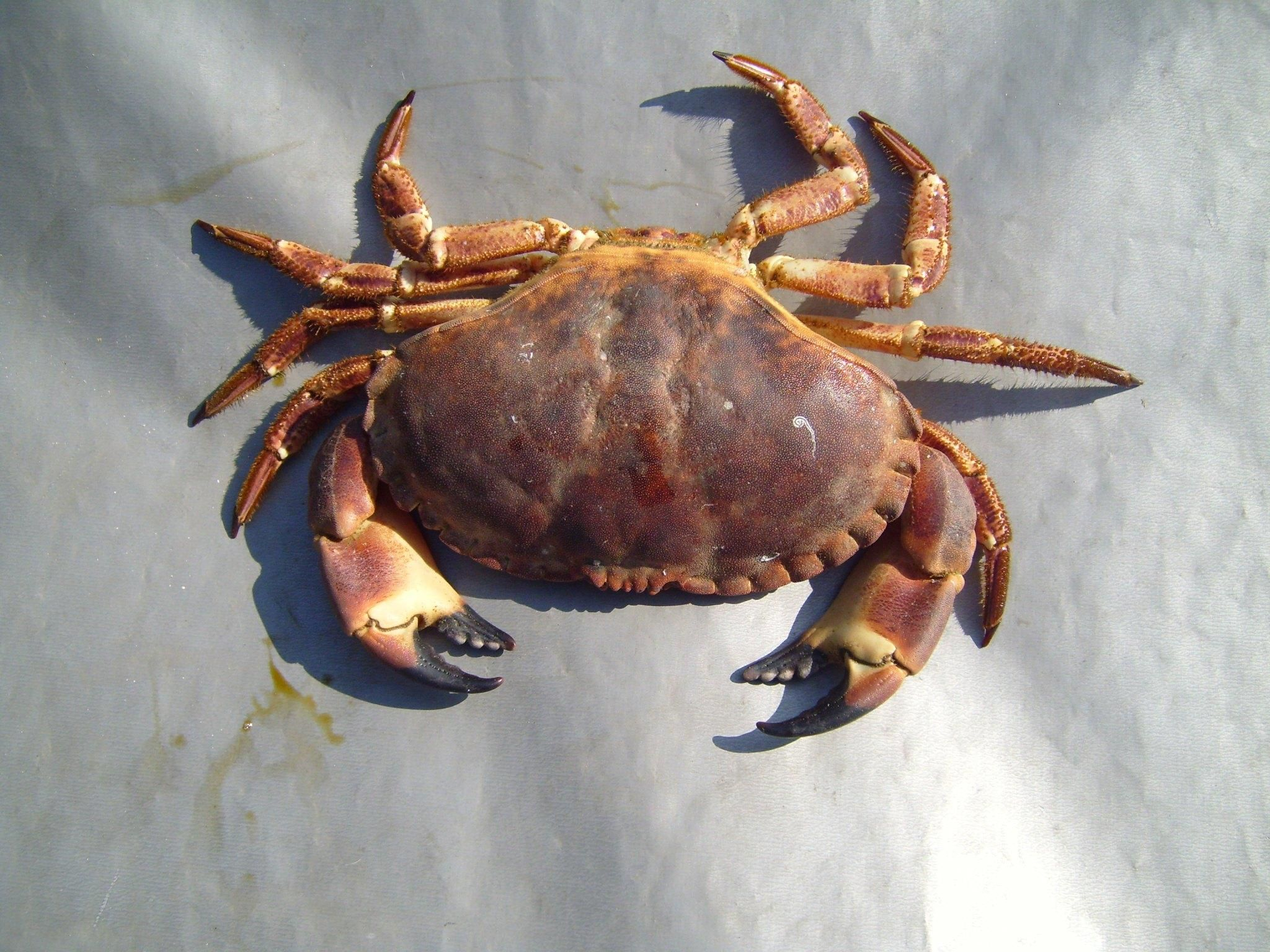 File:Arthropods crab.jpg