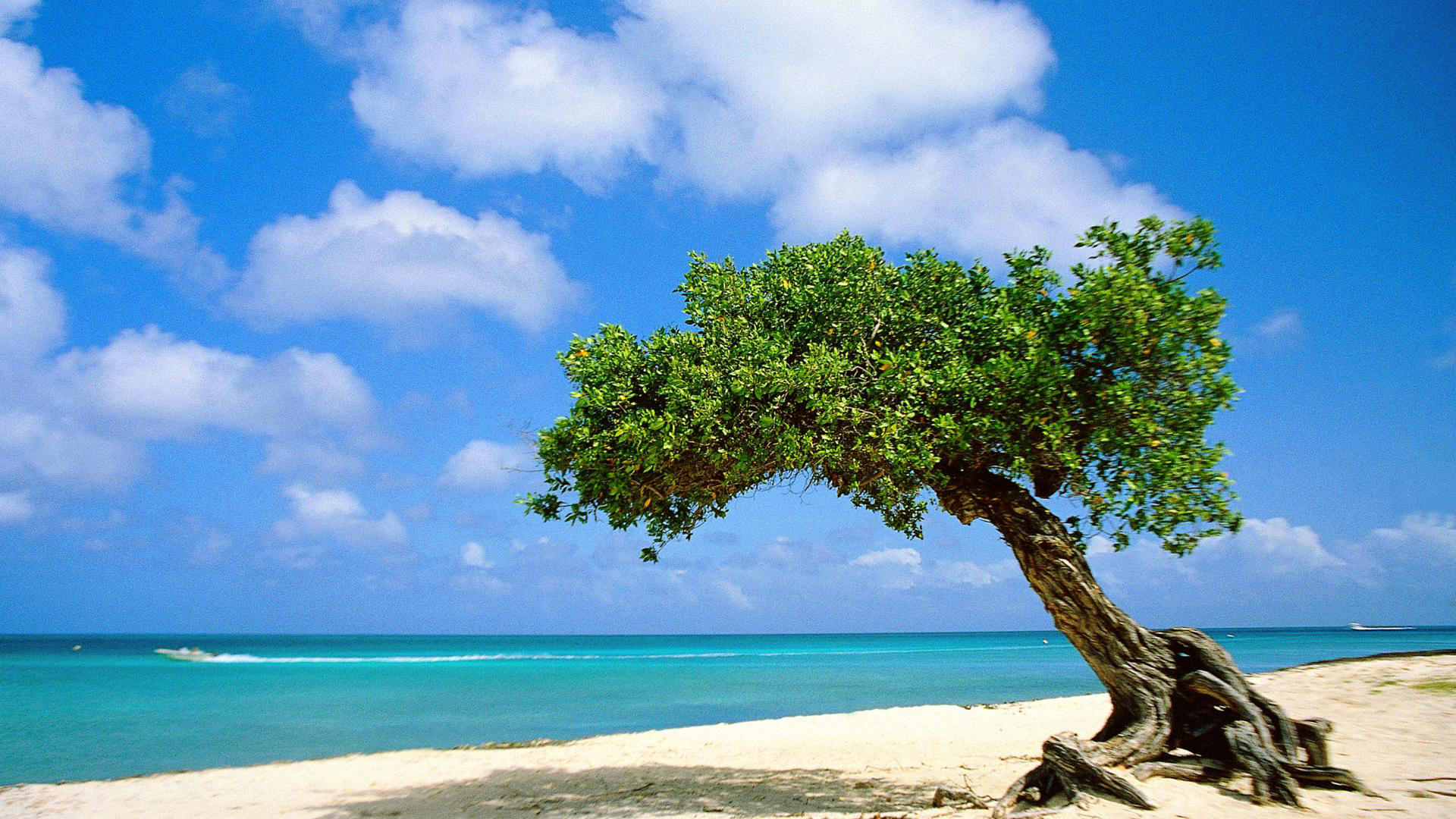 divi-tree-aruba