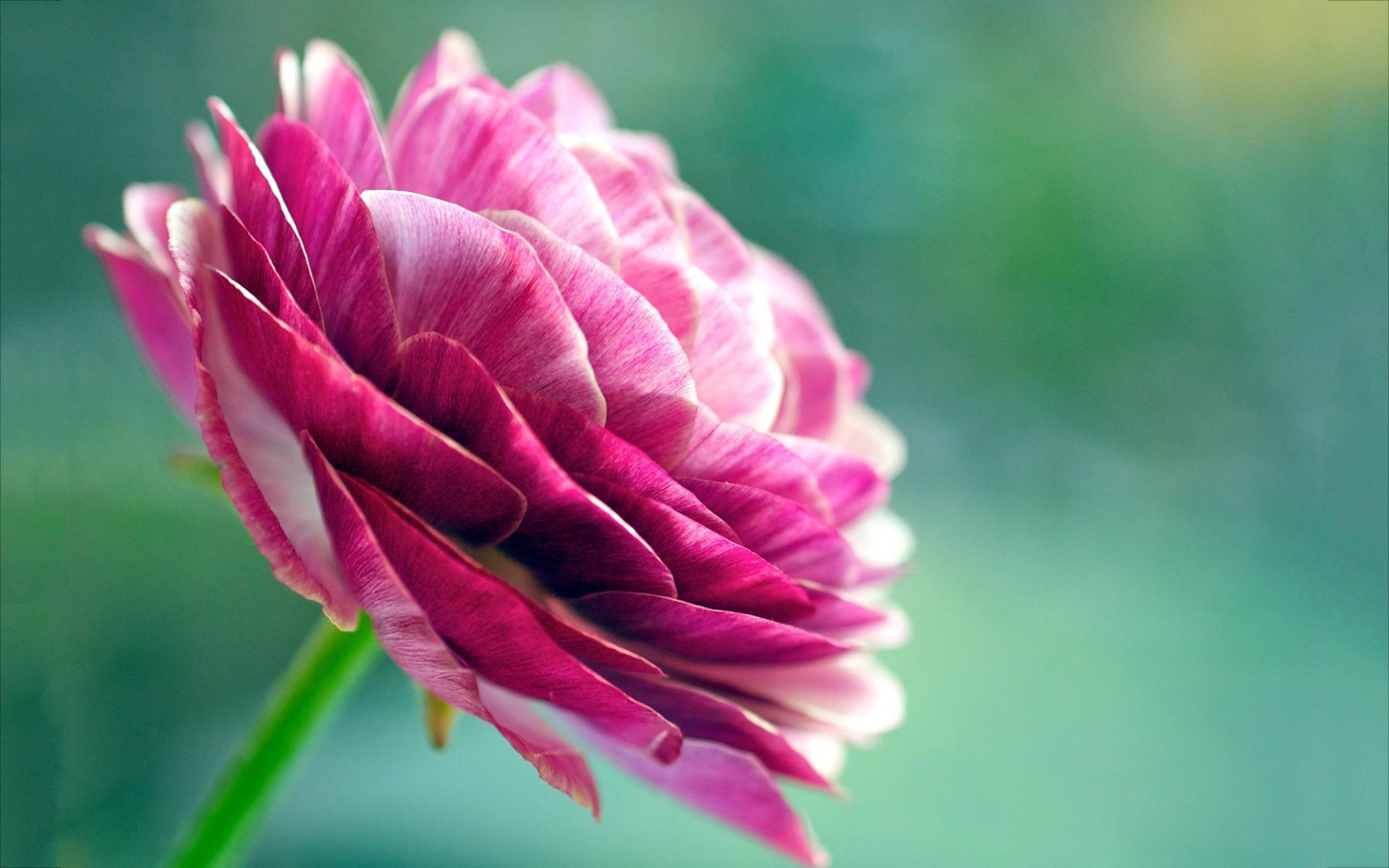 Asian buttercup flower