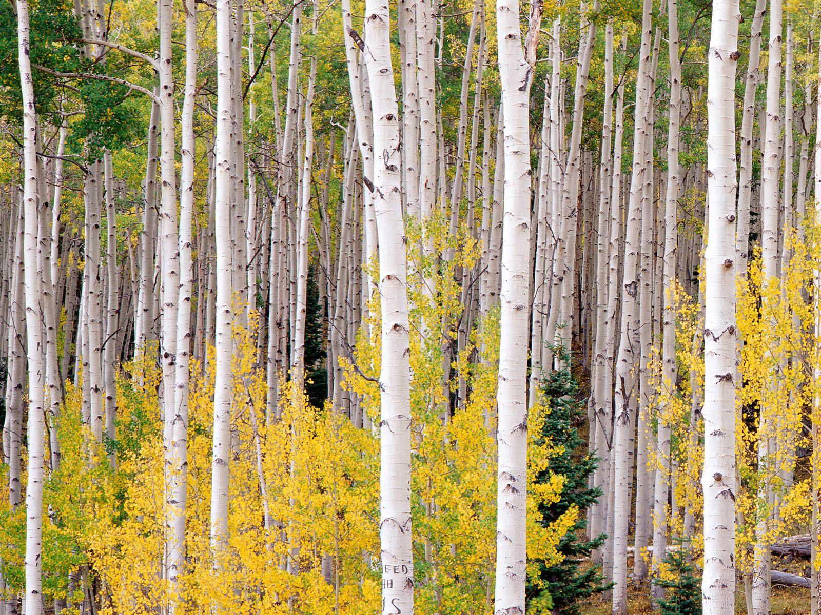 Aspen Tree Wallpaper