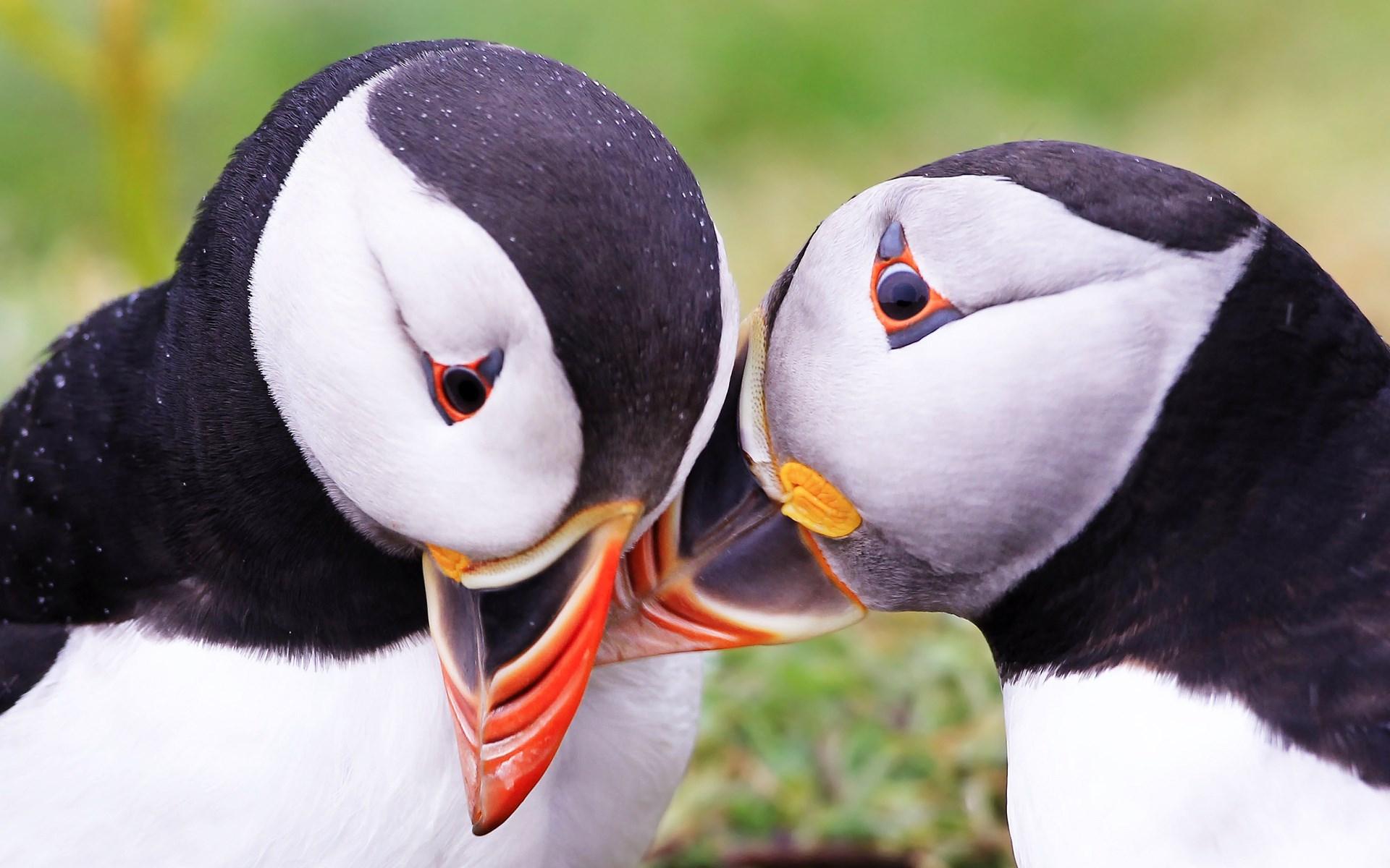 Atlantic Puffin Seabird Close-Up