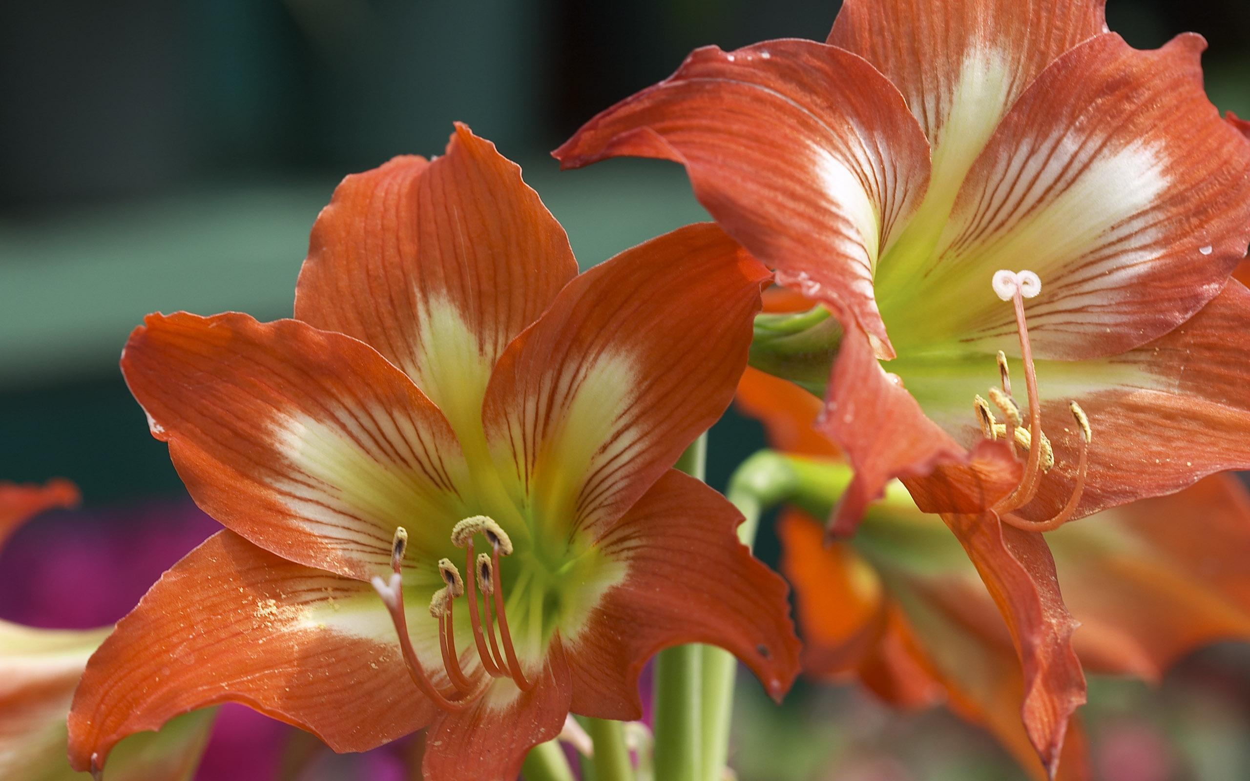 Auburn Lilies