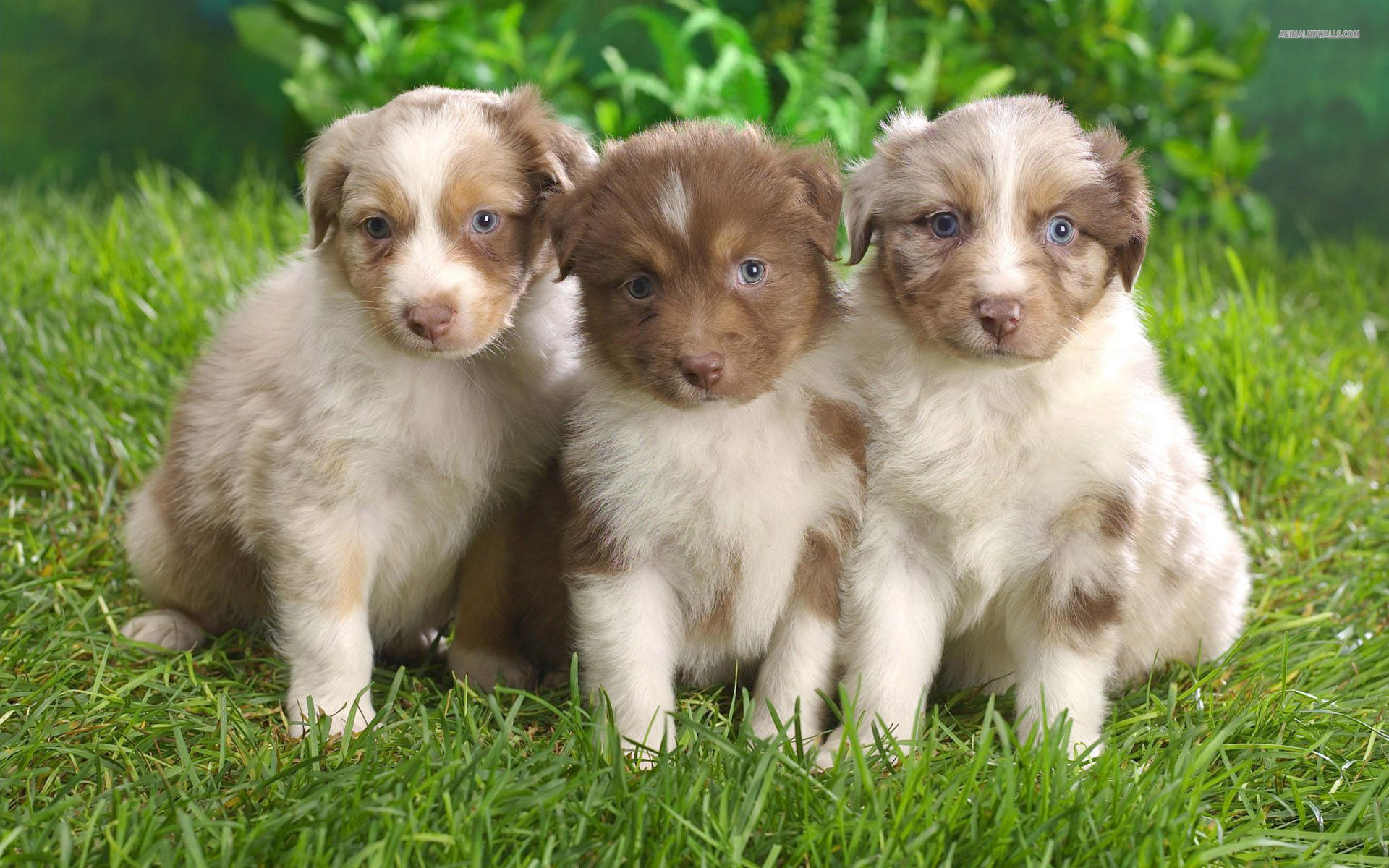 Australian Shepherd Puppies Wallpaper 1920x1200