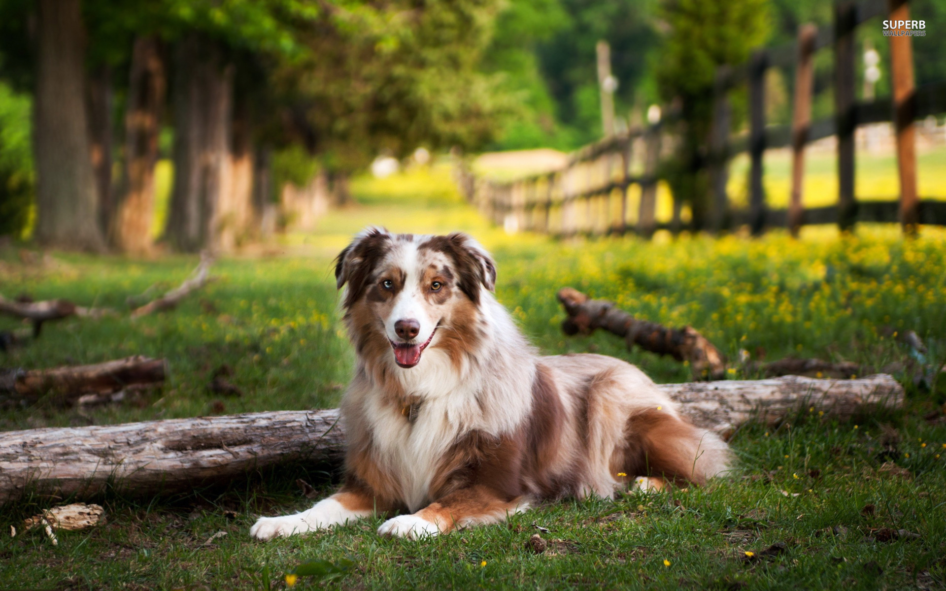 Australian Shepherd full hd