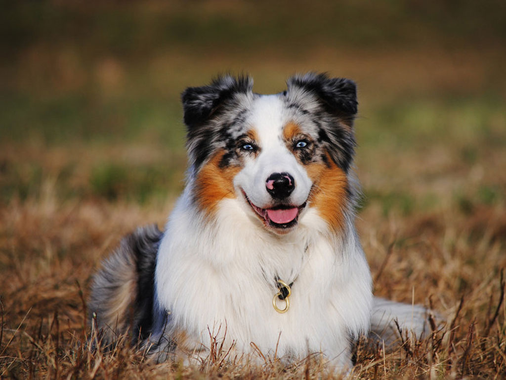 Australian Shepherd Dog 13 Wallpaper HD