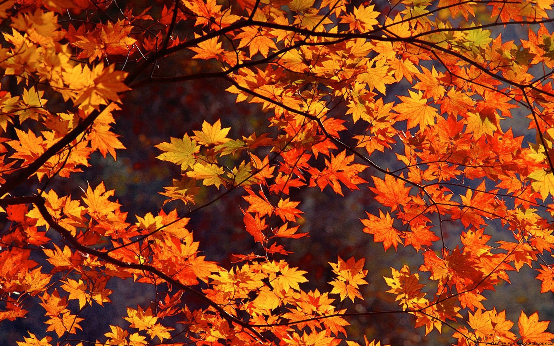 Autumn Leaves Wallpaper 1920x1200 70293