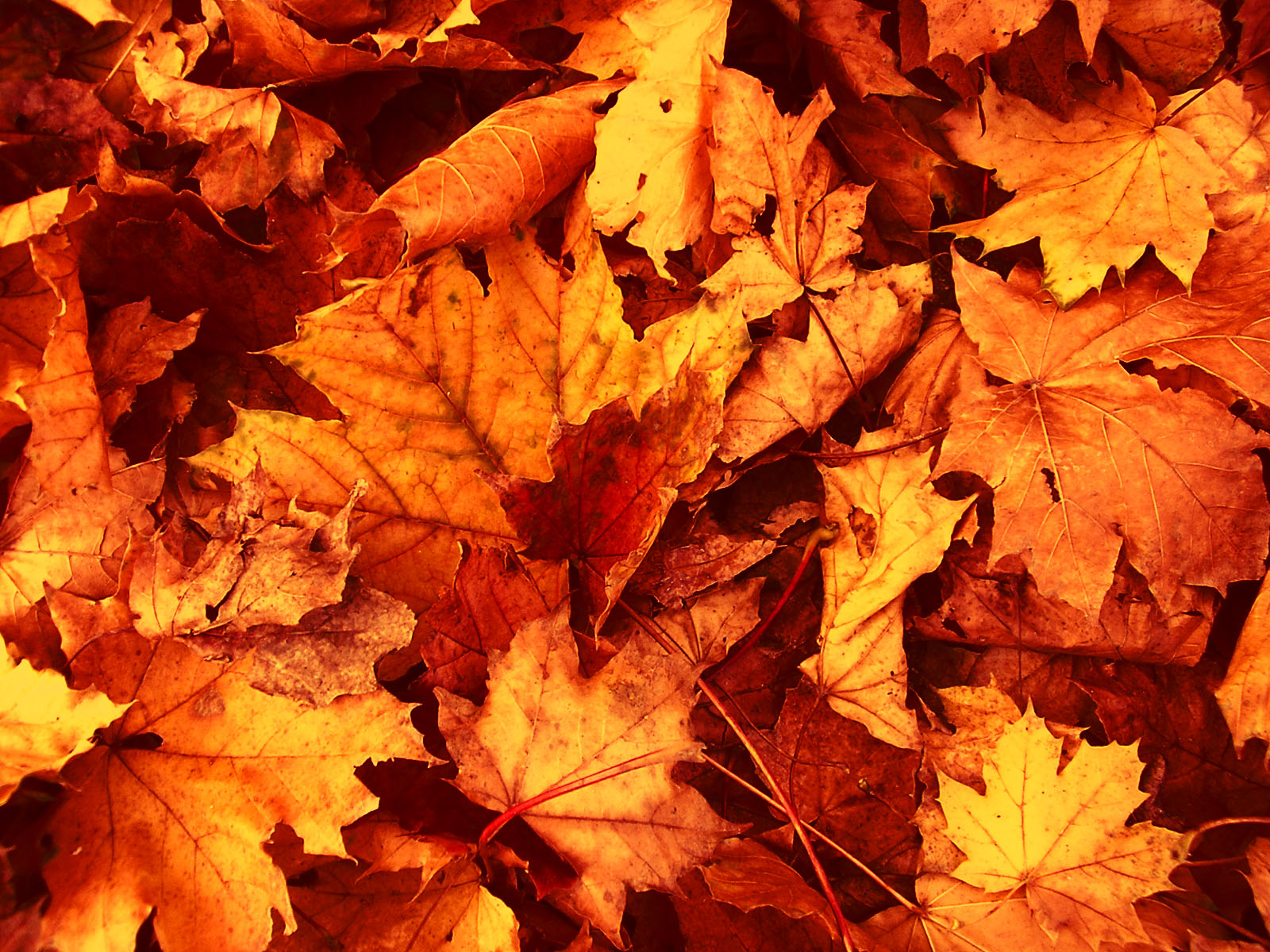 Autumn Leaves Wallpaper 1600x1200 70283