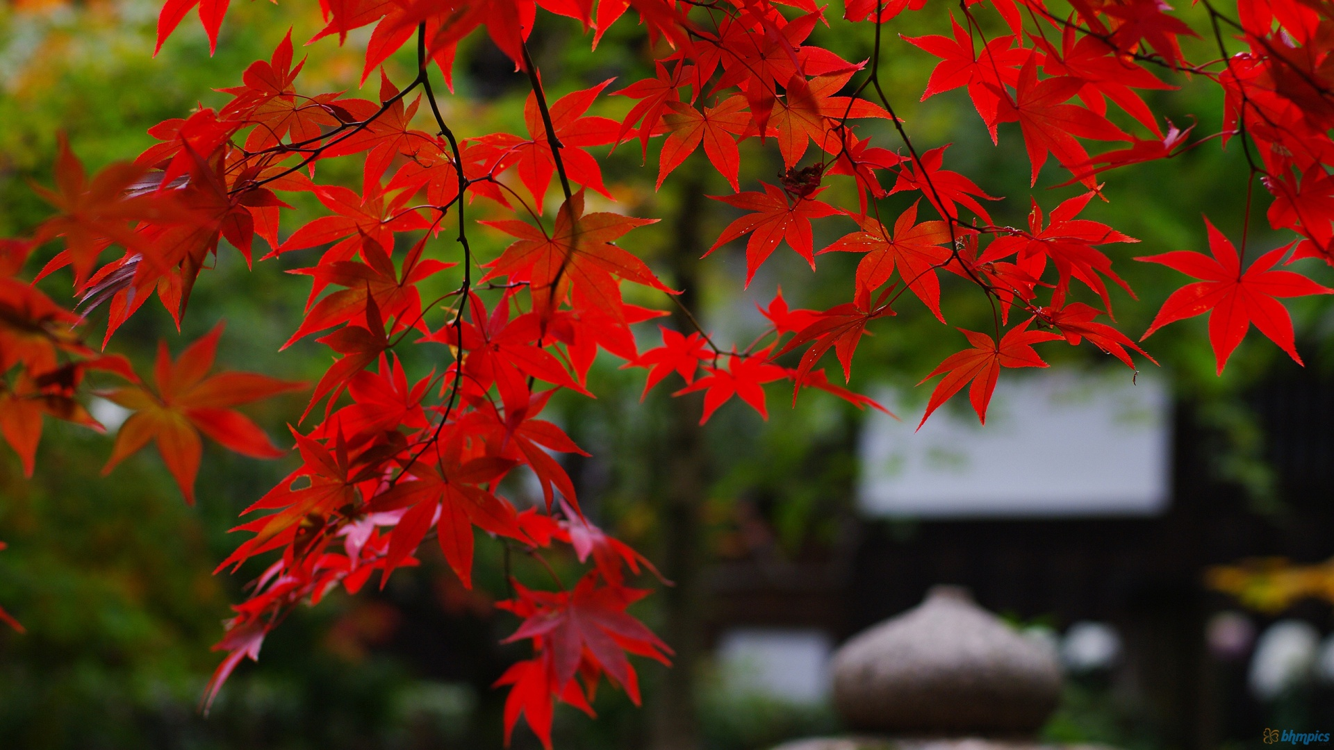 Autumn maple tree foliage
