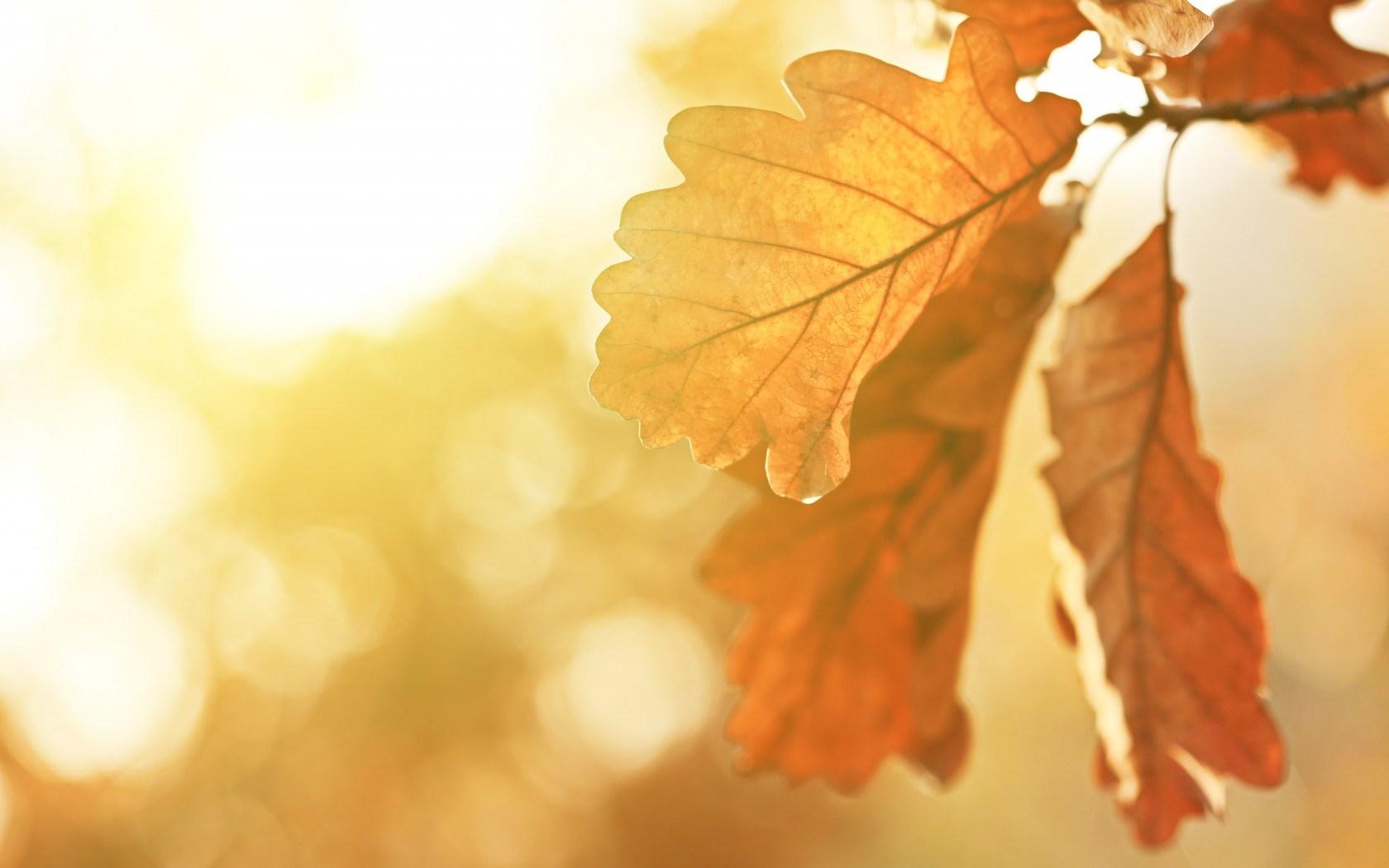 Autumn Oak Leaves Nature