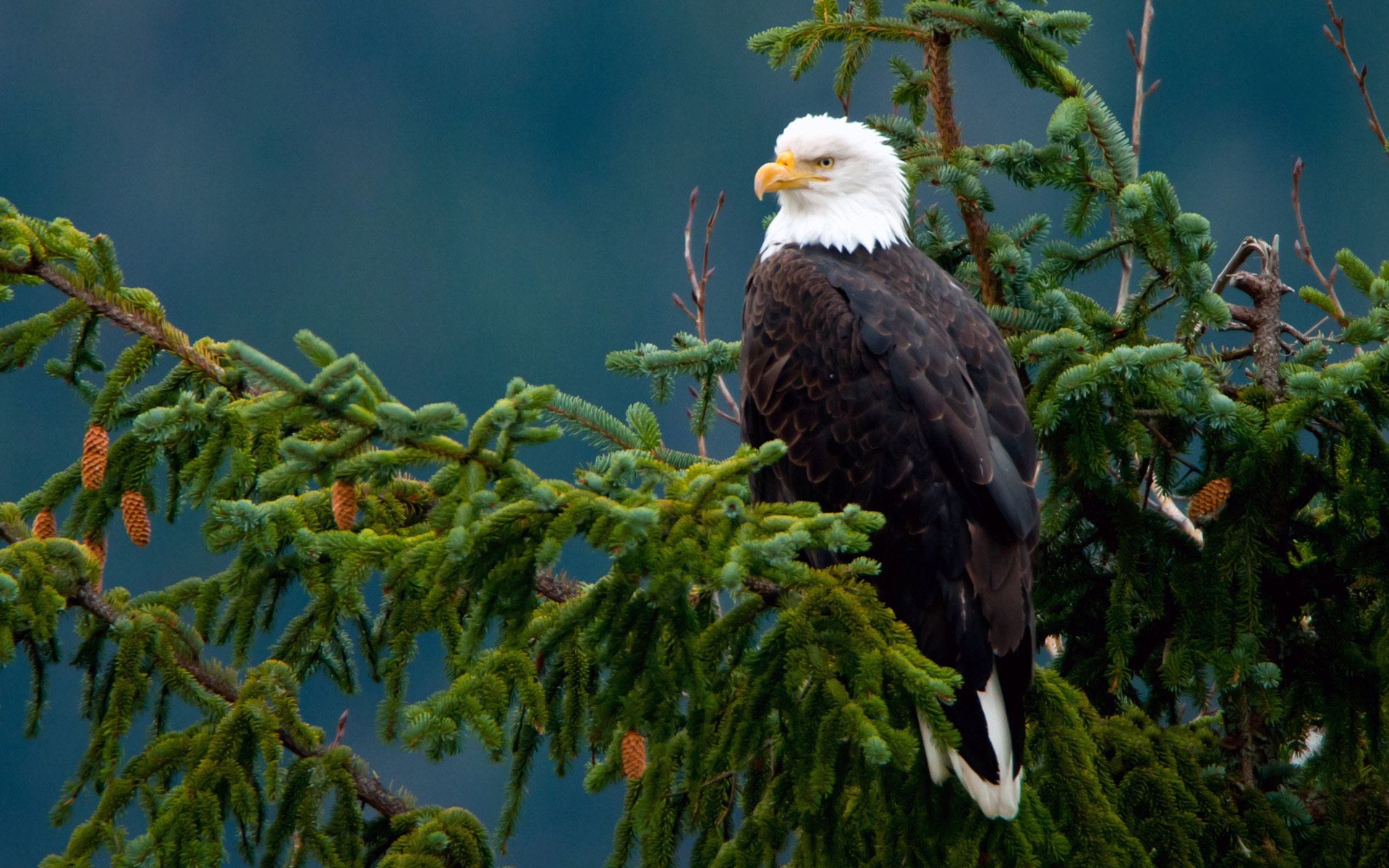 Marvelous Wallpaper Bald Eagle