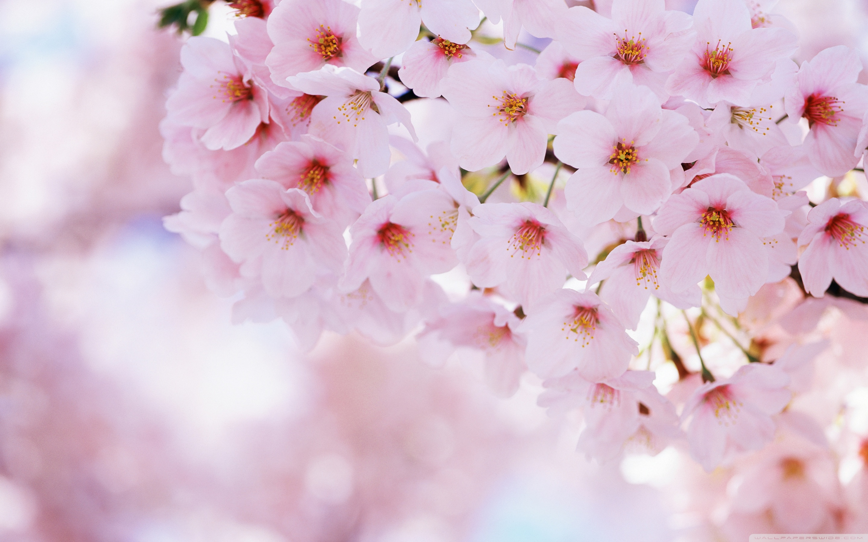 Image for Awesome Cherry Blossom (Sakura) Wallpaper HD 7