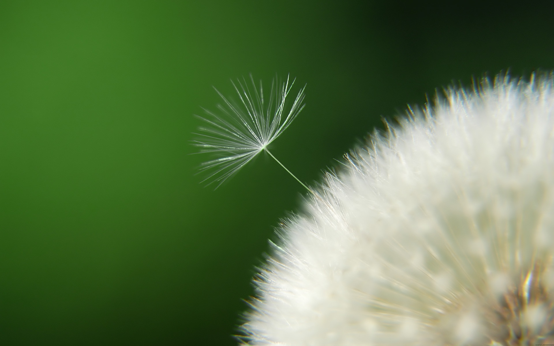 Awesome Dandelion Seeds Wallpaper