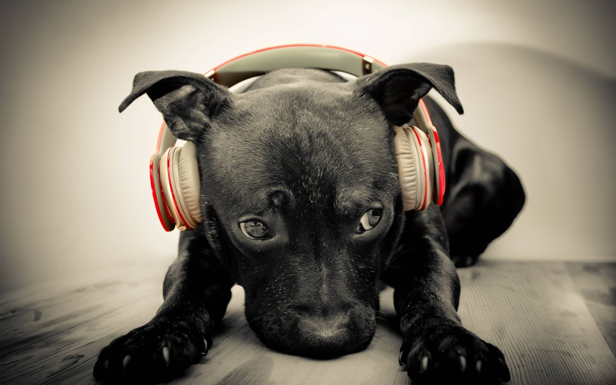 black dog headphones music wide high quality wallpaper photos for desktop background