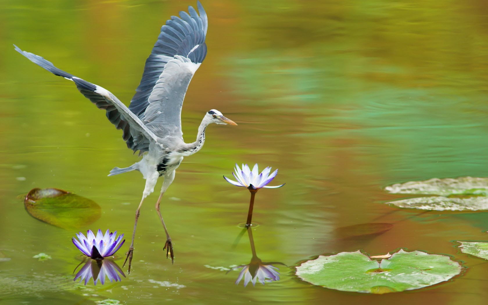 Awesome Heron Wallpaper