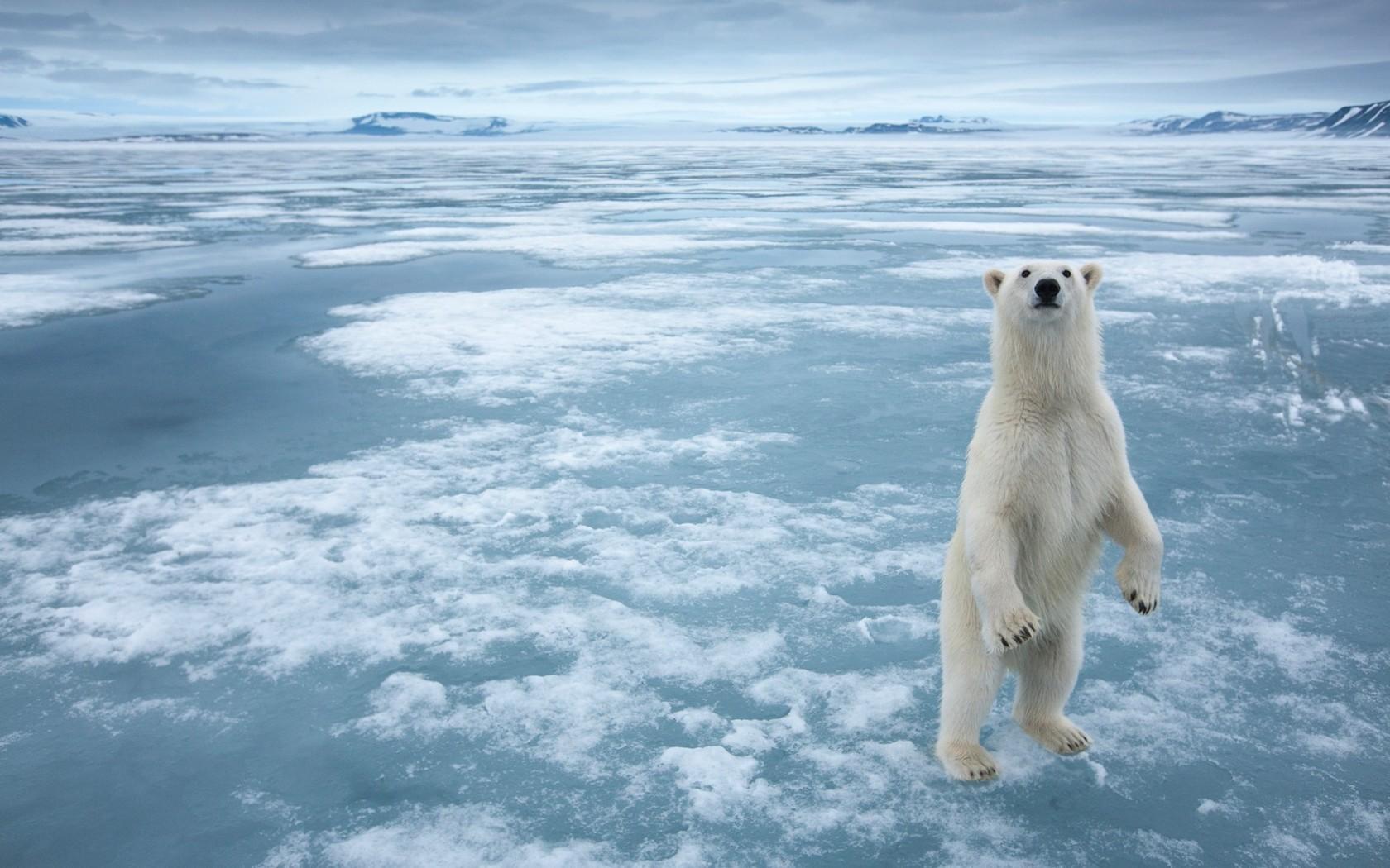 Awesome Polar Bear Wallpaper