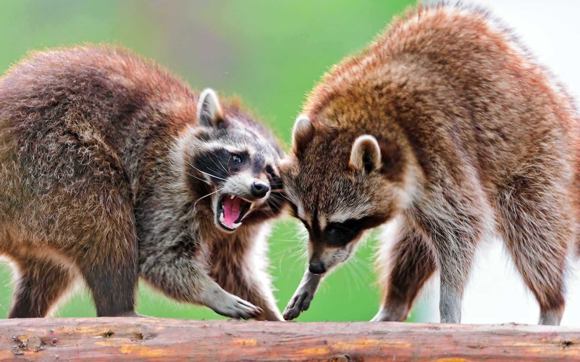 ... Raccoon Wallpaper ...