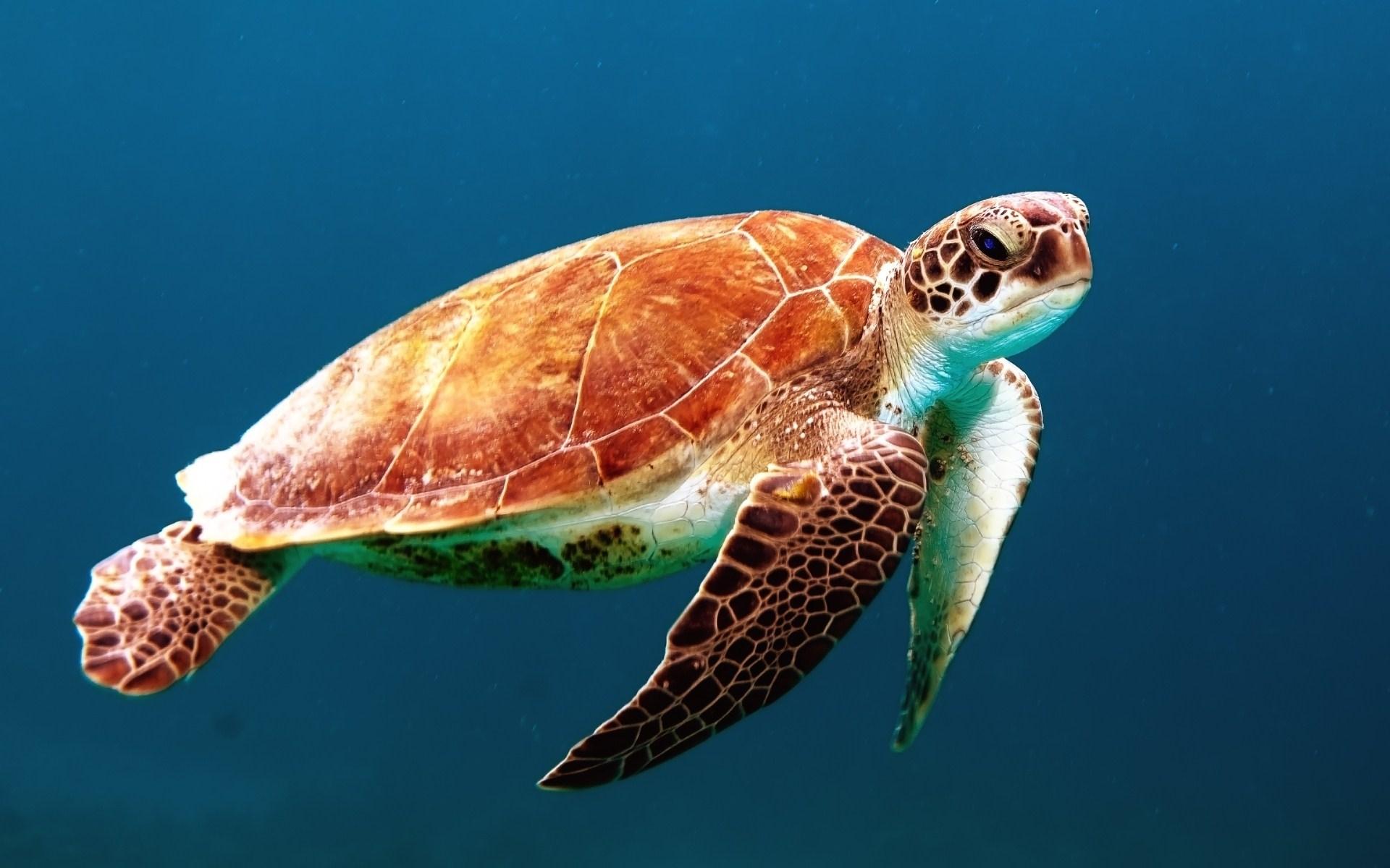 Peaceful Swimming Sea Turtle Blue HD Wallpaper