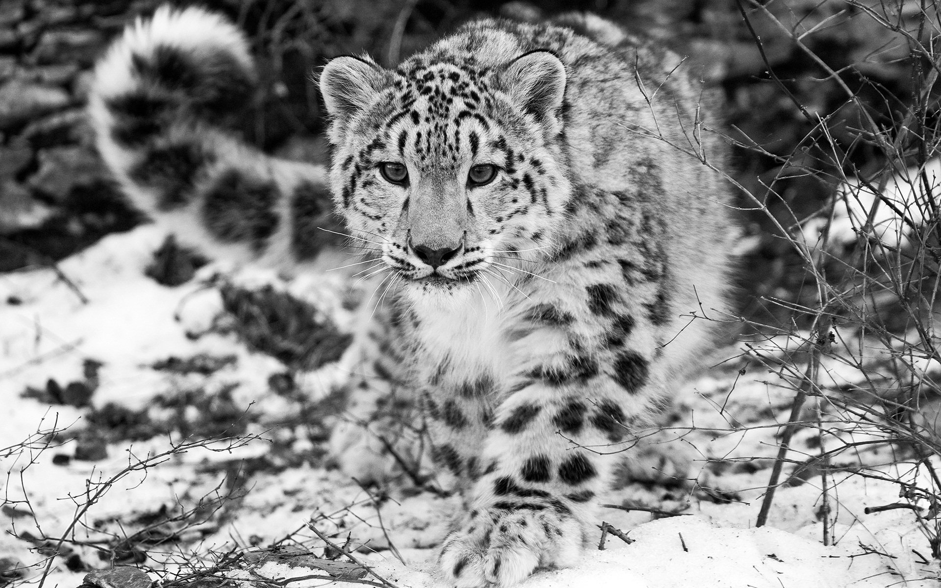Awesome Snow Leopard Wallpaper