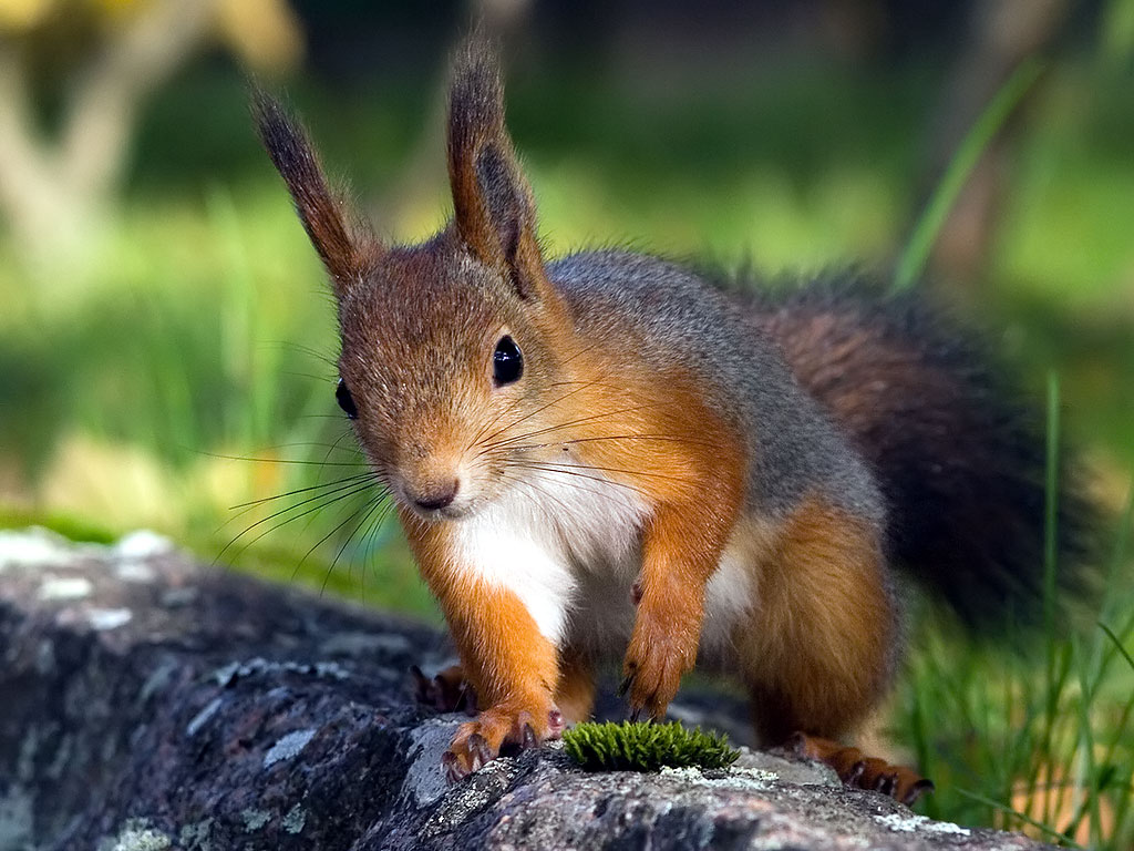 Red Squirrel Awesome Hd Wallpaper